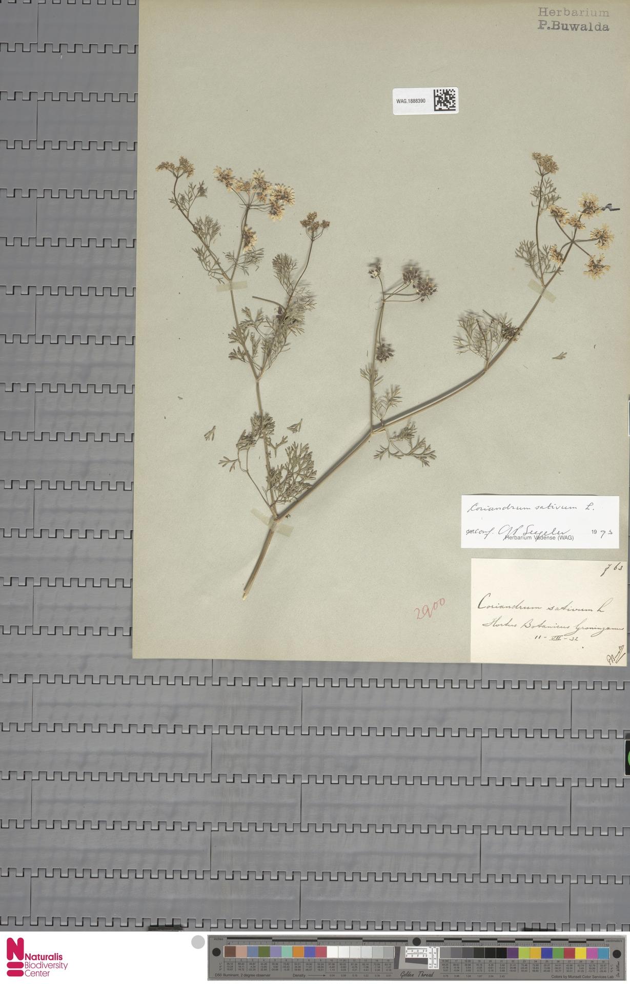 WAG.1888390   Coriandrum sativum L.