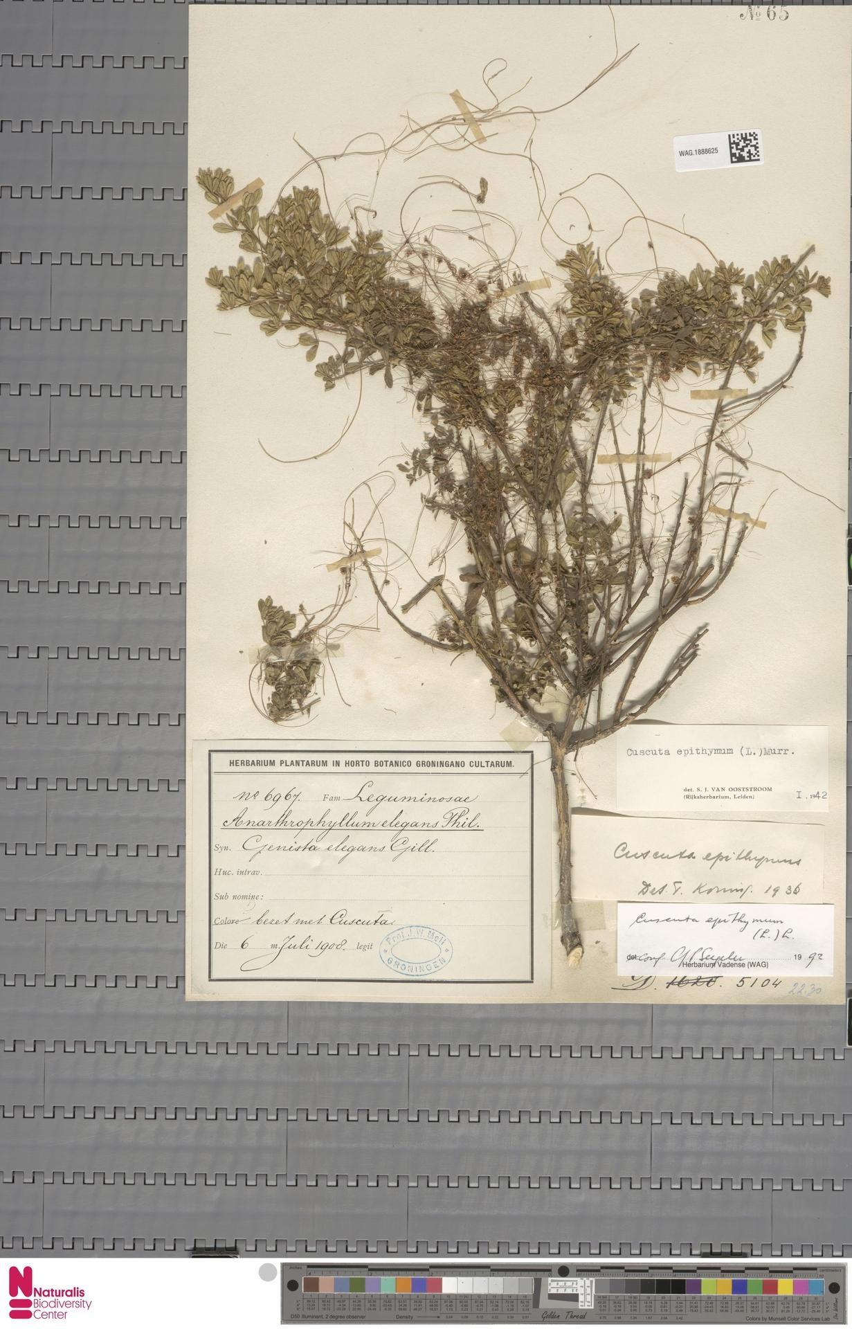 WAG.1888625 | Cuscuta epithymum (L.) L.