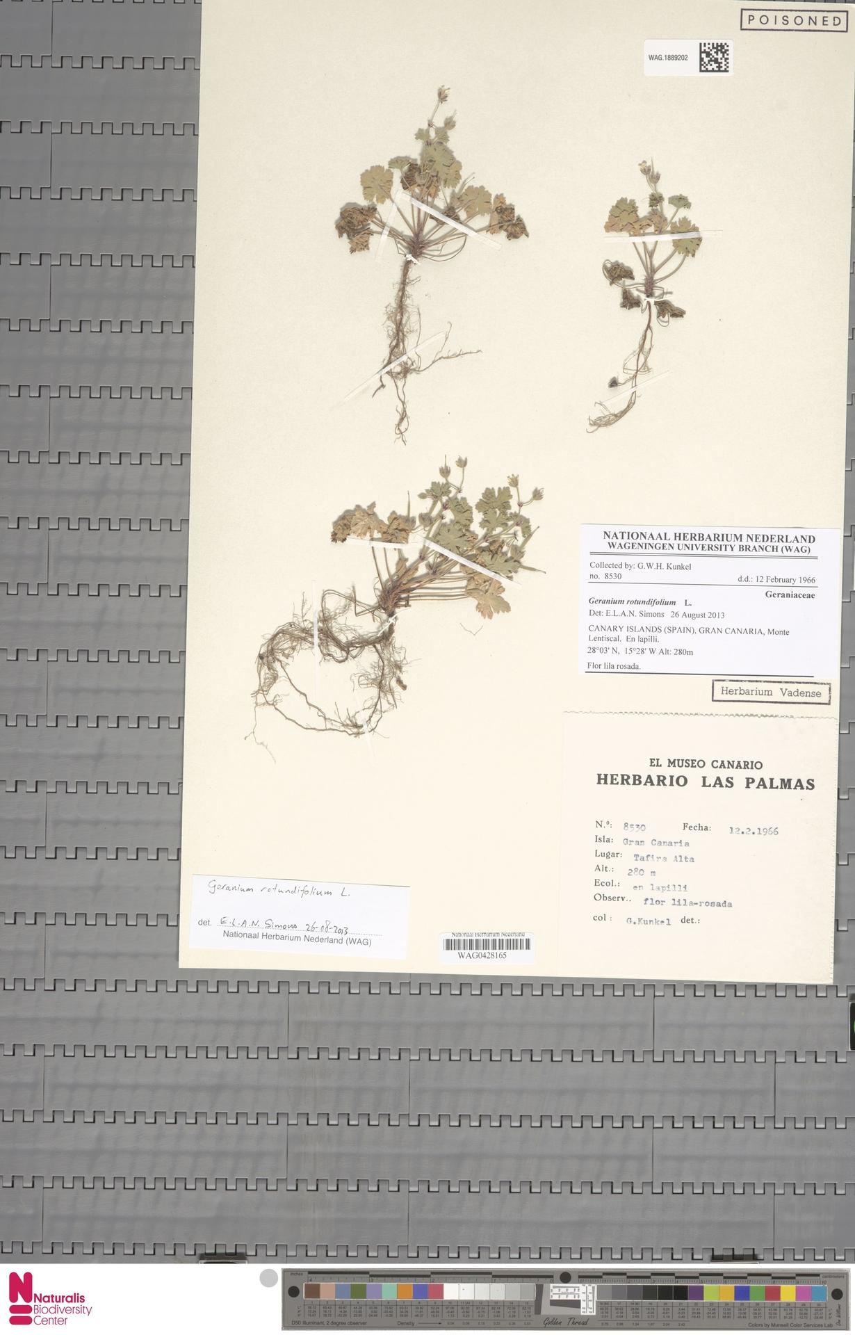 WAG.1889202 | Geranium rotundifolium L.