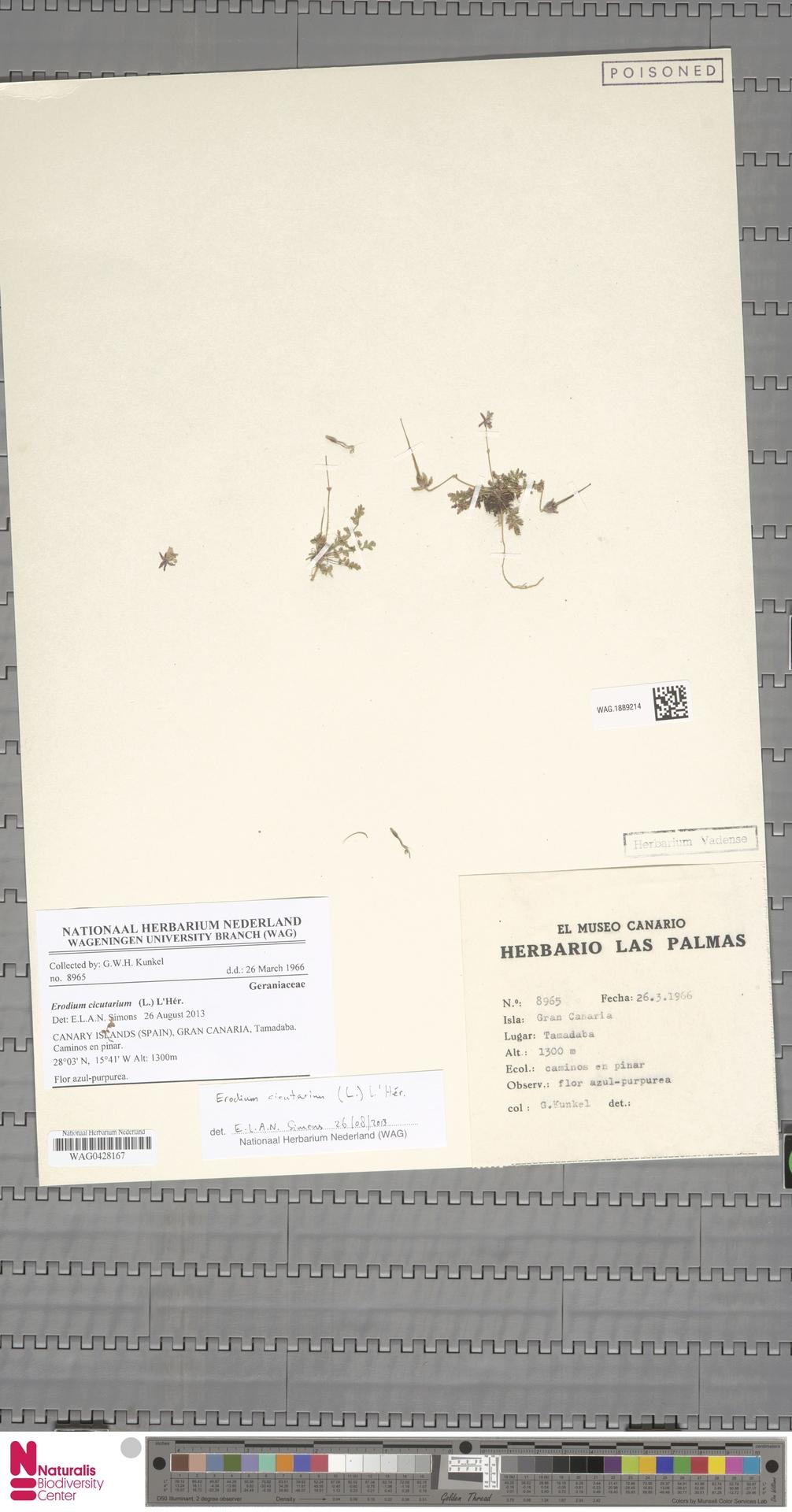 WAG.1889214 | Erodium cicutarium (L.) L'Hér.
