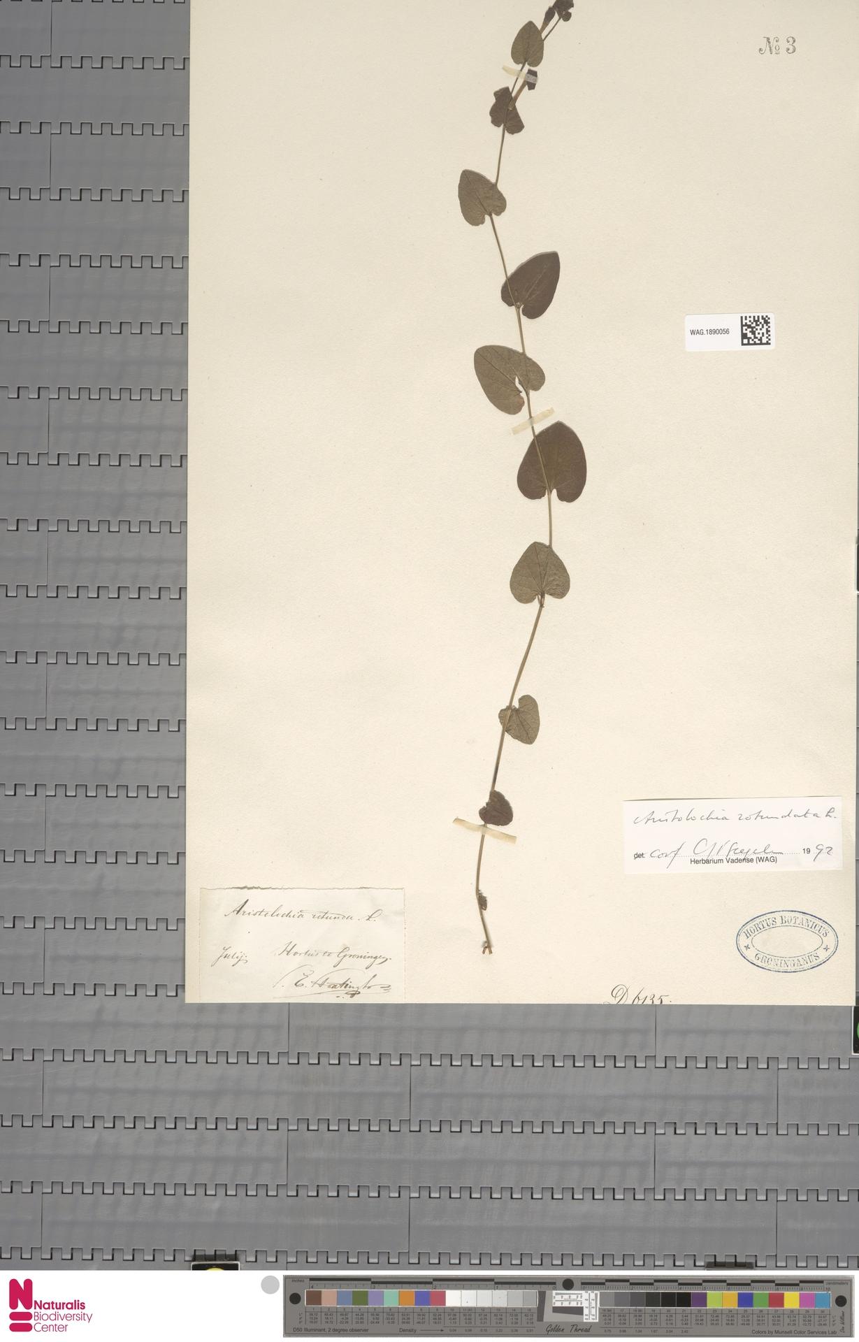 WAG.1890056 | Aristolochia rotunda L.