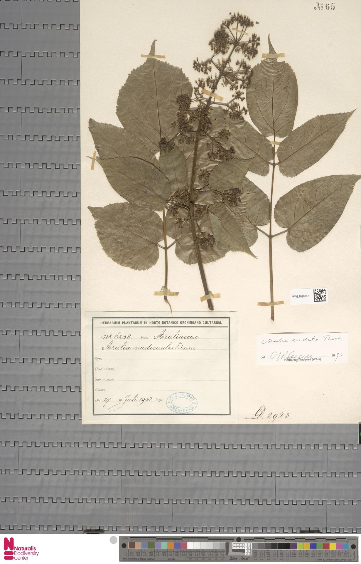 WAG.1890067 | Aralia cordata Thunb.