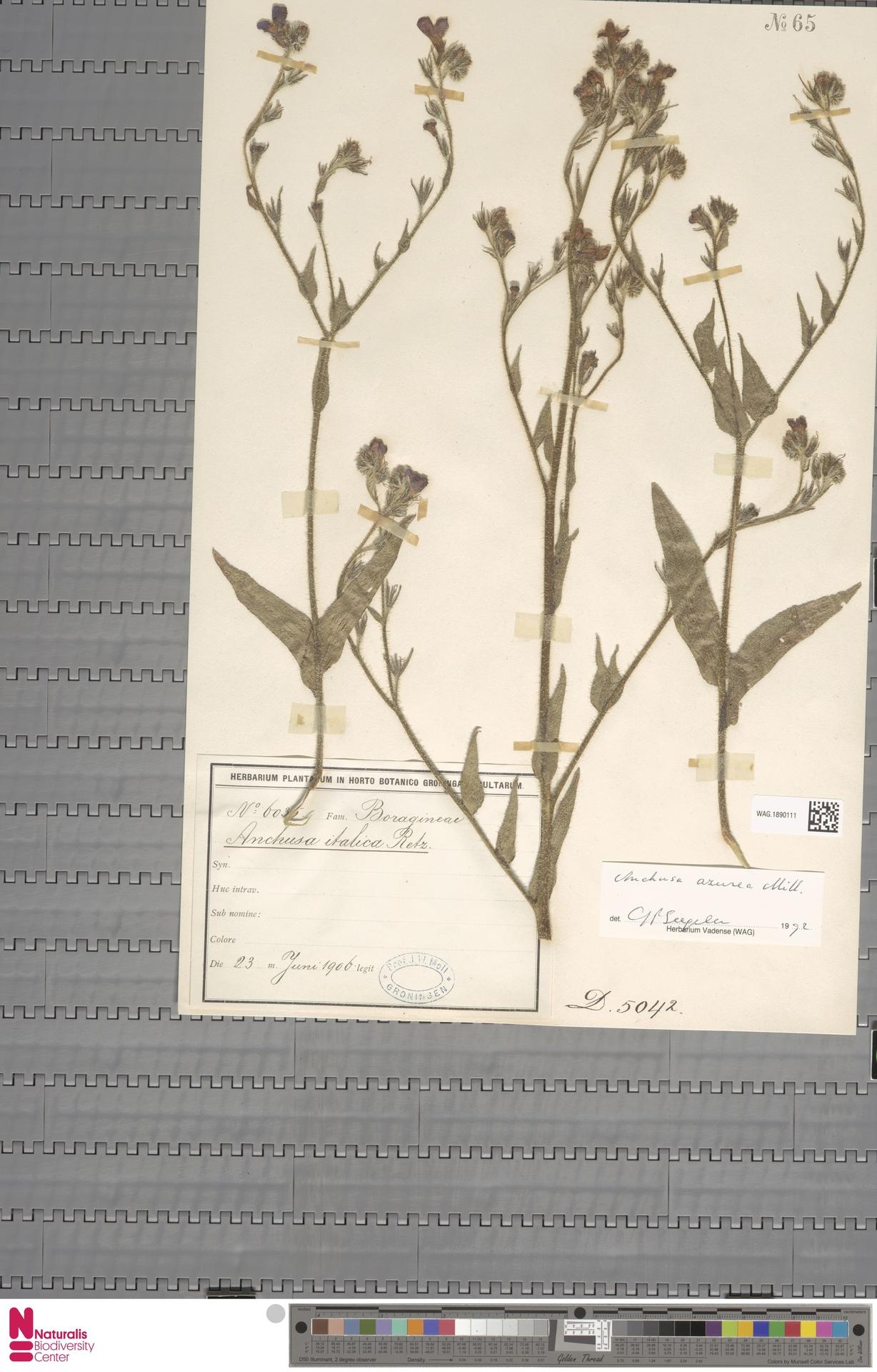 WAG.1890111 | Anchusa azurea Mill.