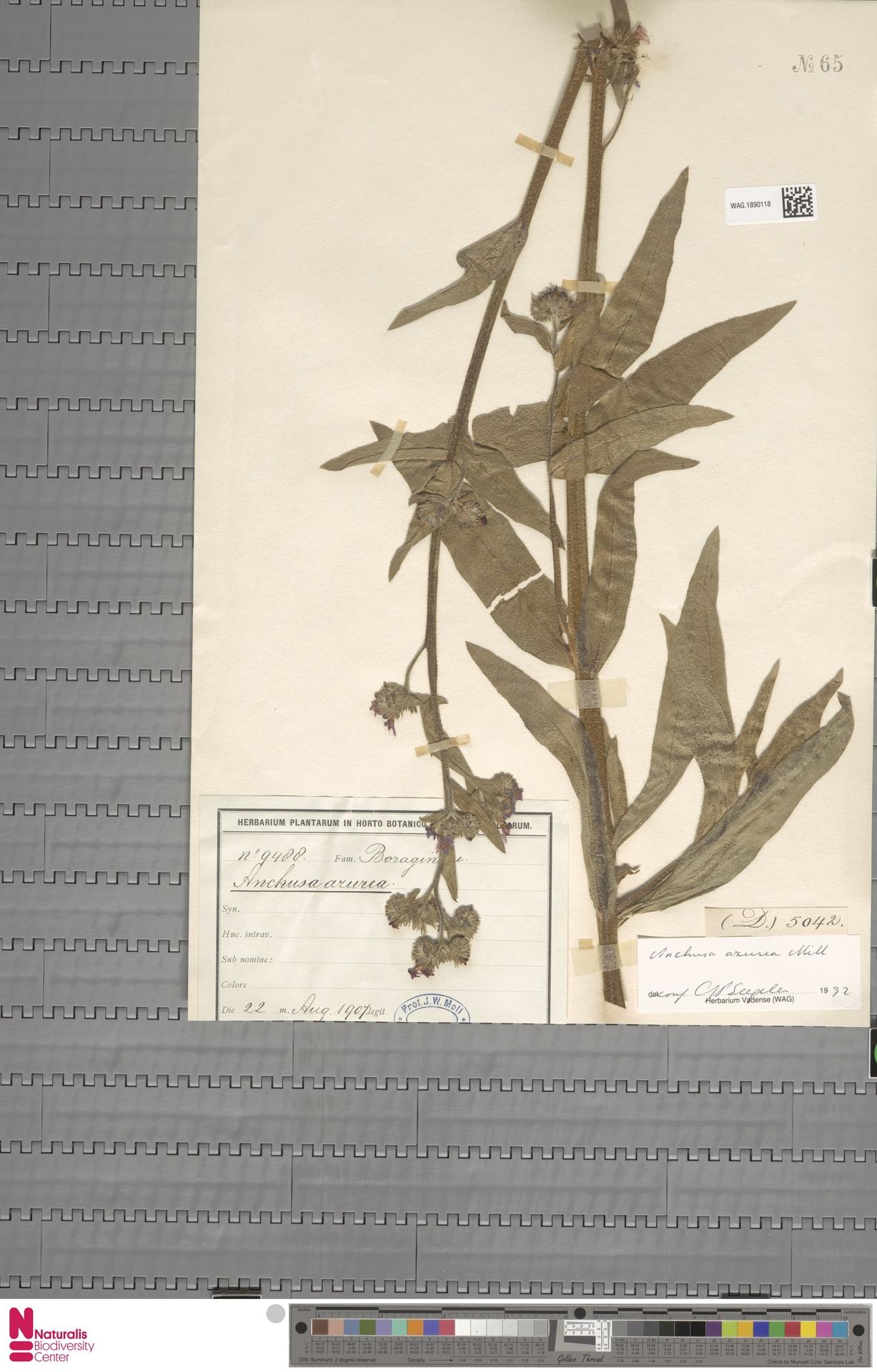 WAG.1890118 | Anchusa azurea Mill.