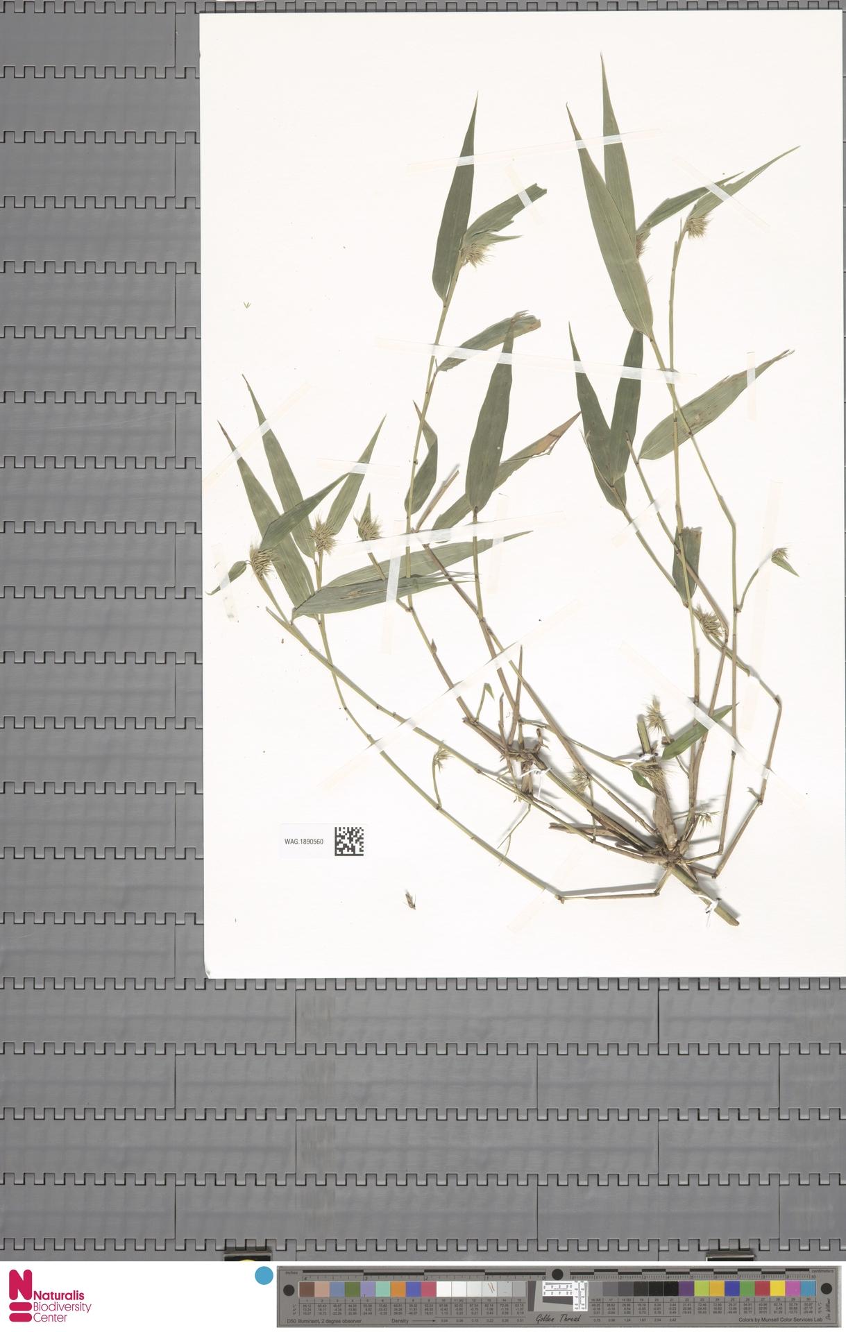 WAG.1890560 | Chusquea urelytra Hack.