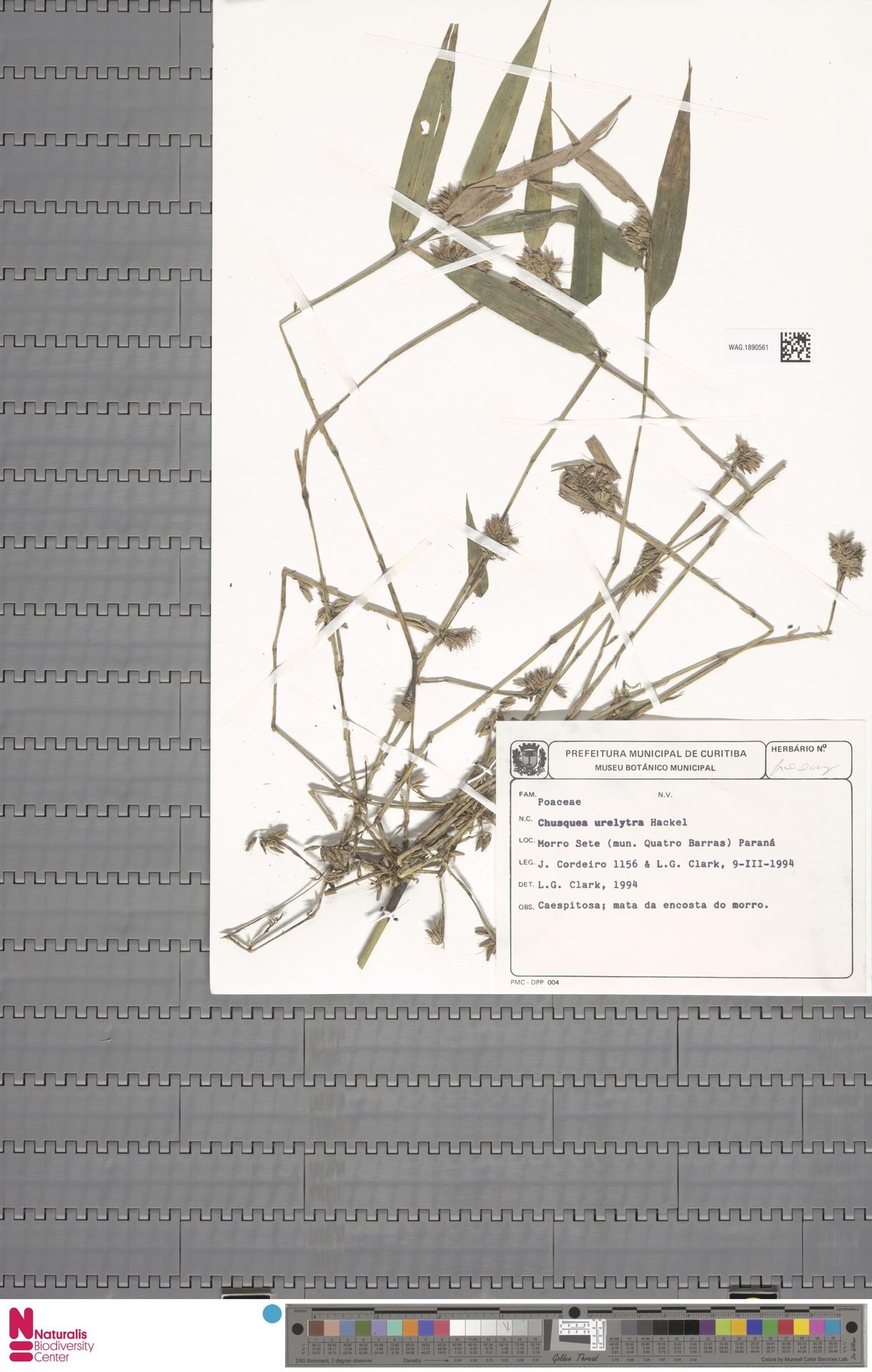 WAG.1890561 | Chusquea urelytra Hack.