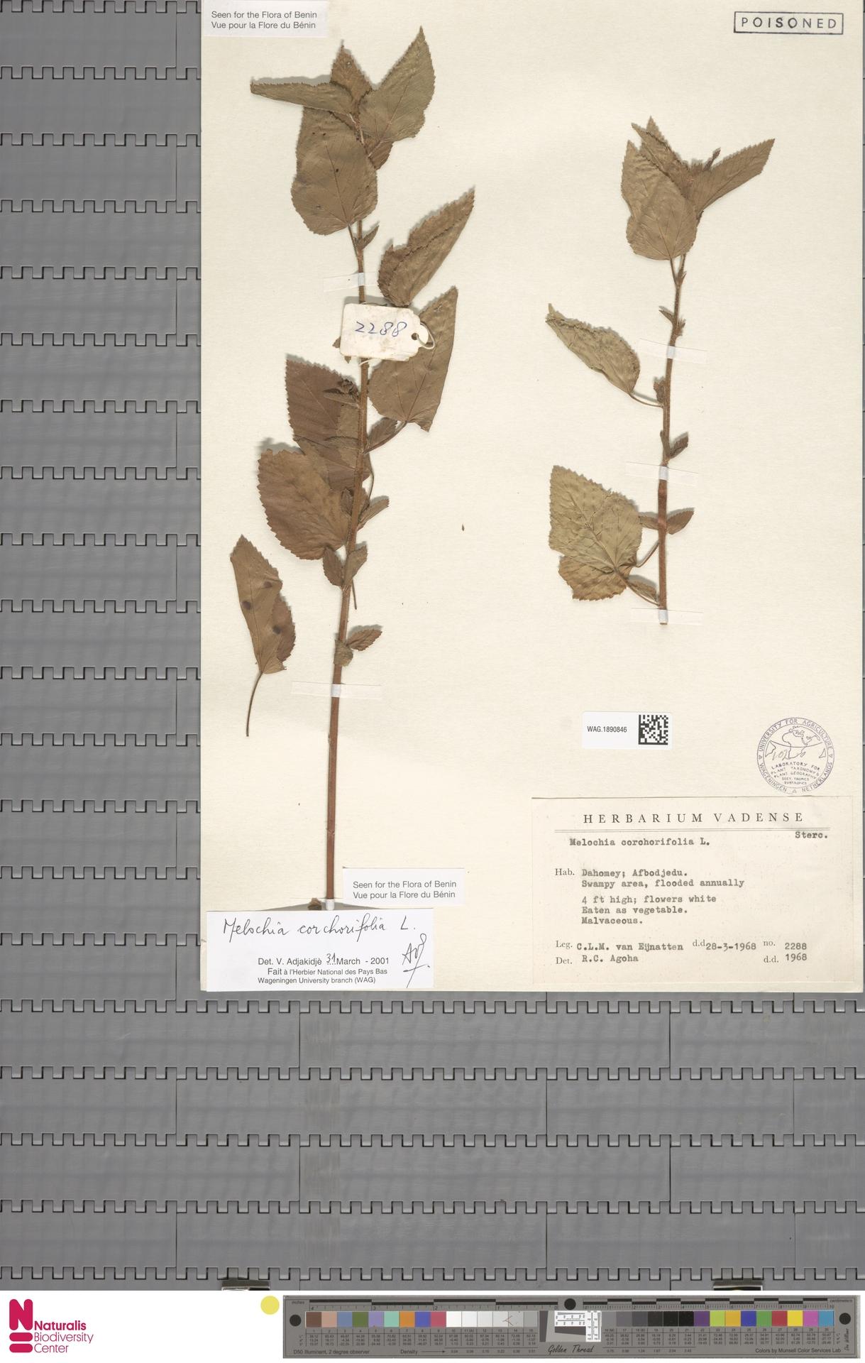 WAG.1890846 | Melochia corchorifolia L.