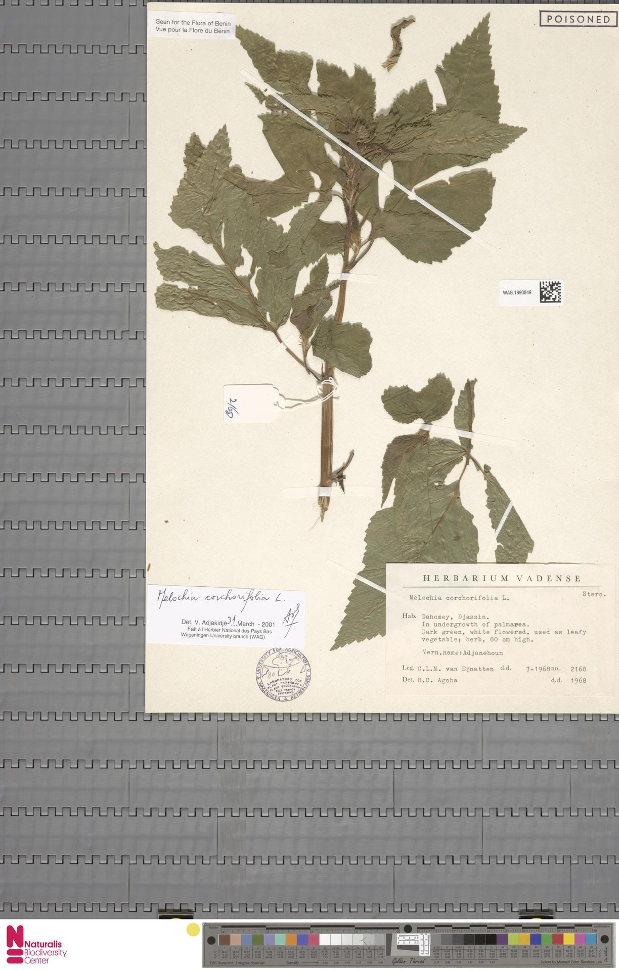 WAG.1890849 | Melochia corchorifolia L.