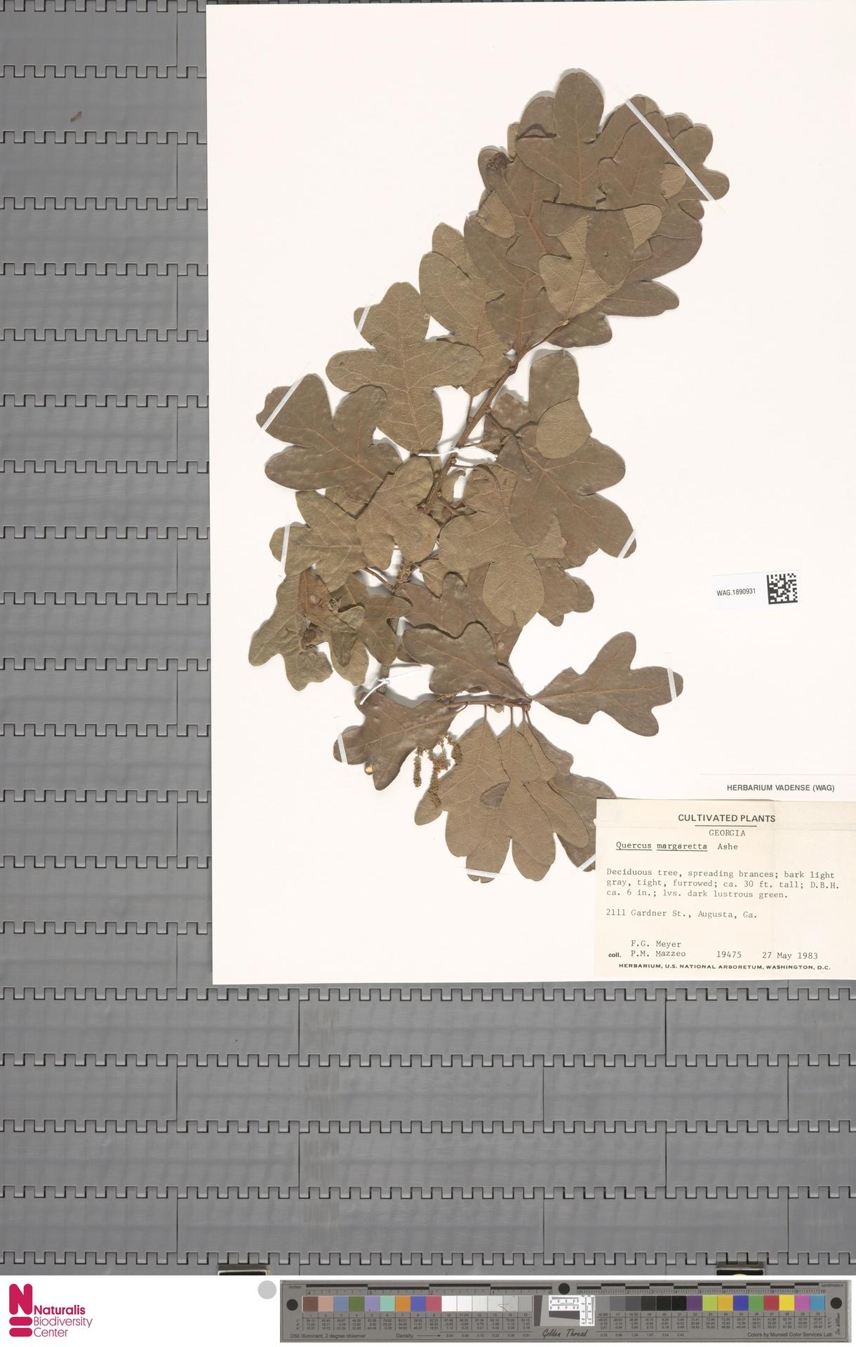 WAG.1890931 | Quercus margarettae (Ashe) Small