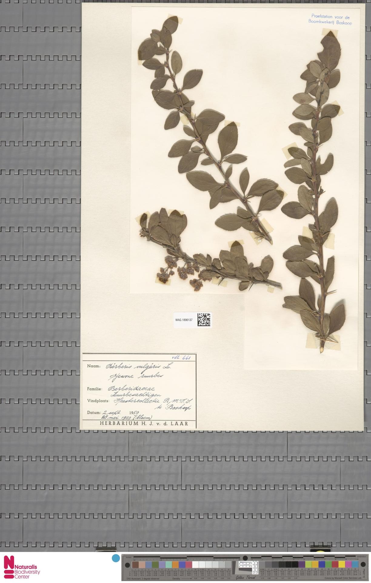 WAG.1896137 | Berberis vulgaris L.