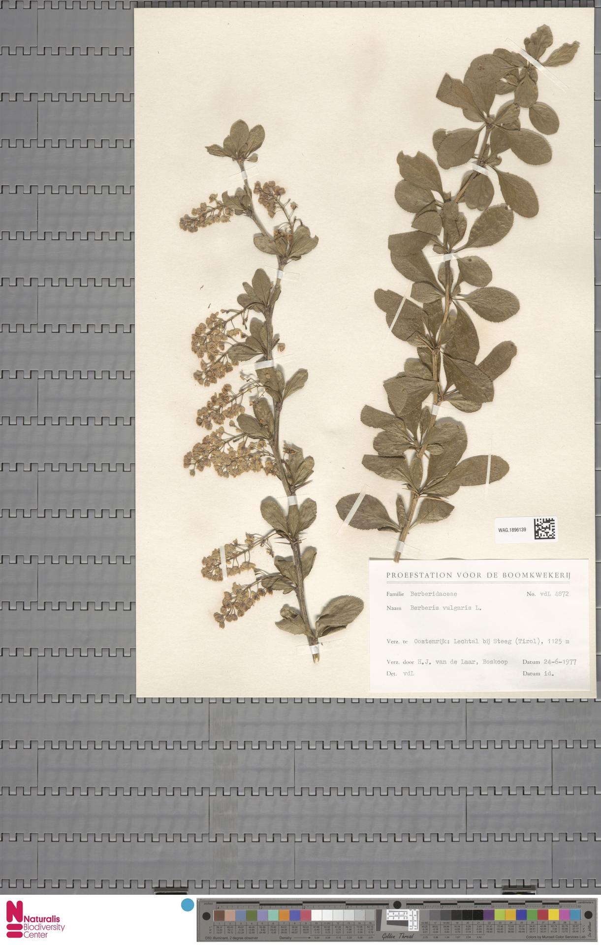 WAG.1896139 | Berberis vulgaris L.