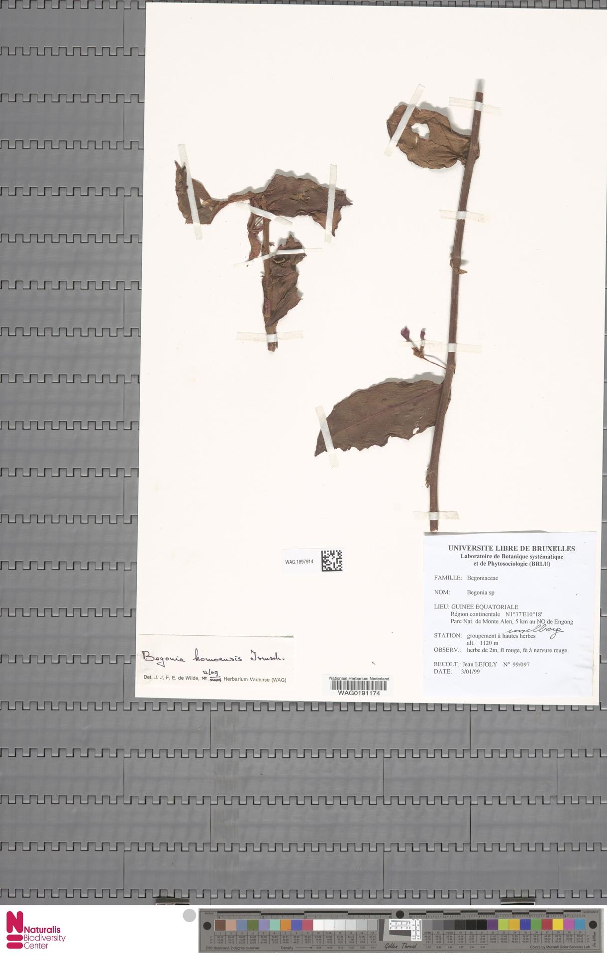 WAG.1897914 | Begonia komoensis Irmsch.