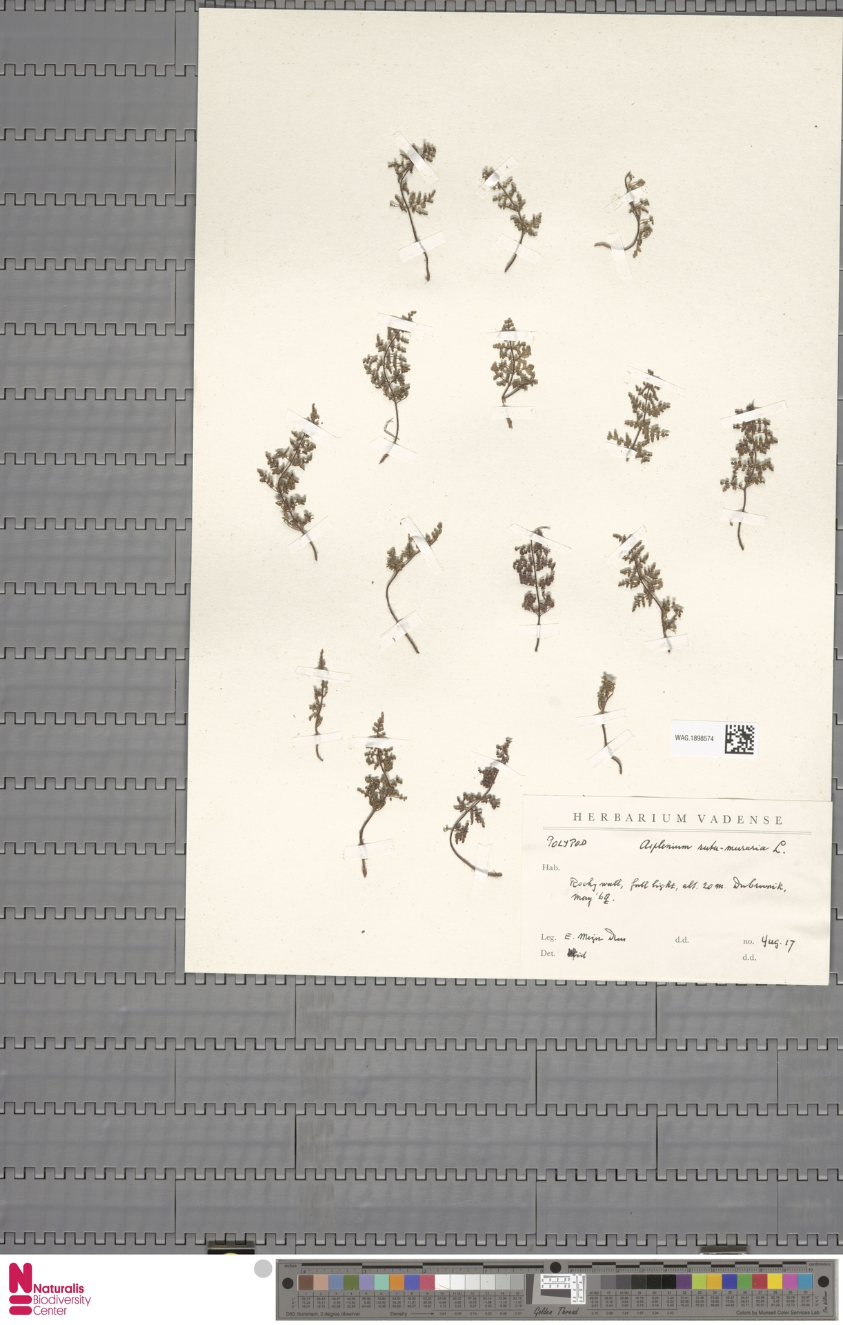 WAG.1898574   Asplenium ruta-muraria L.