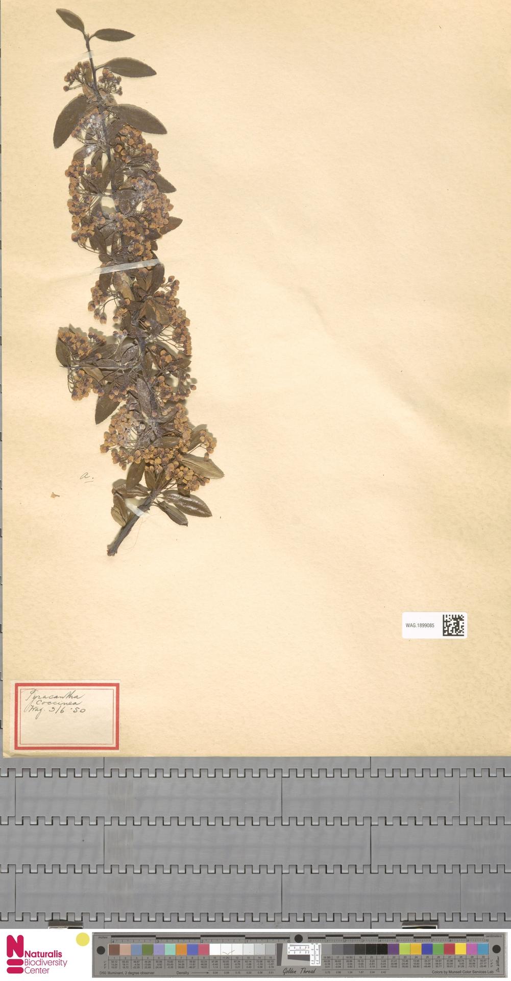 WAG.1899085 | Pyracantha coccinea M.Roem.