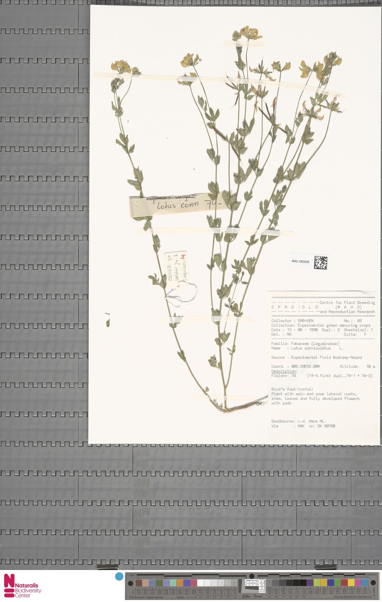 WAG.1903508 | Lotus corniculatus L.