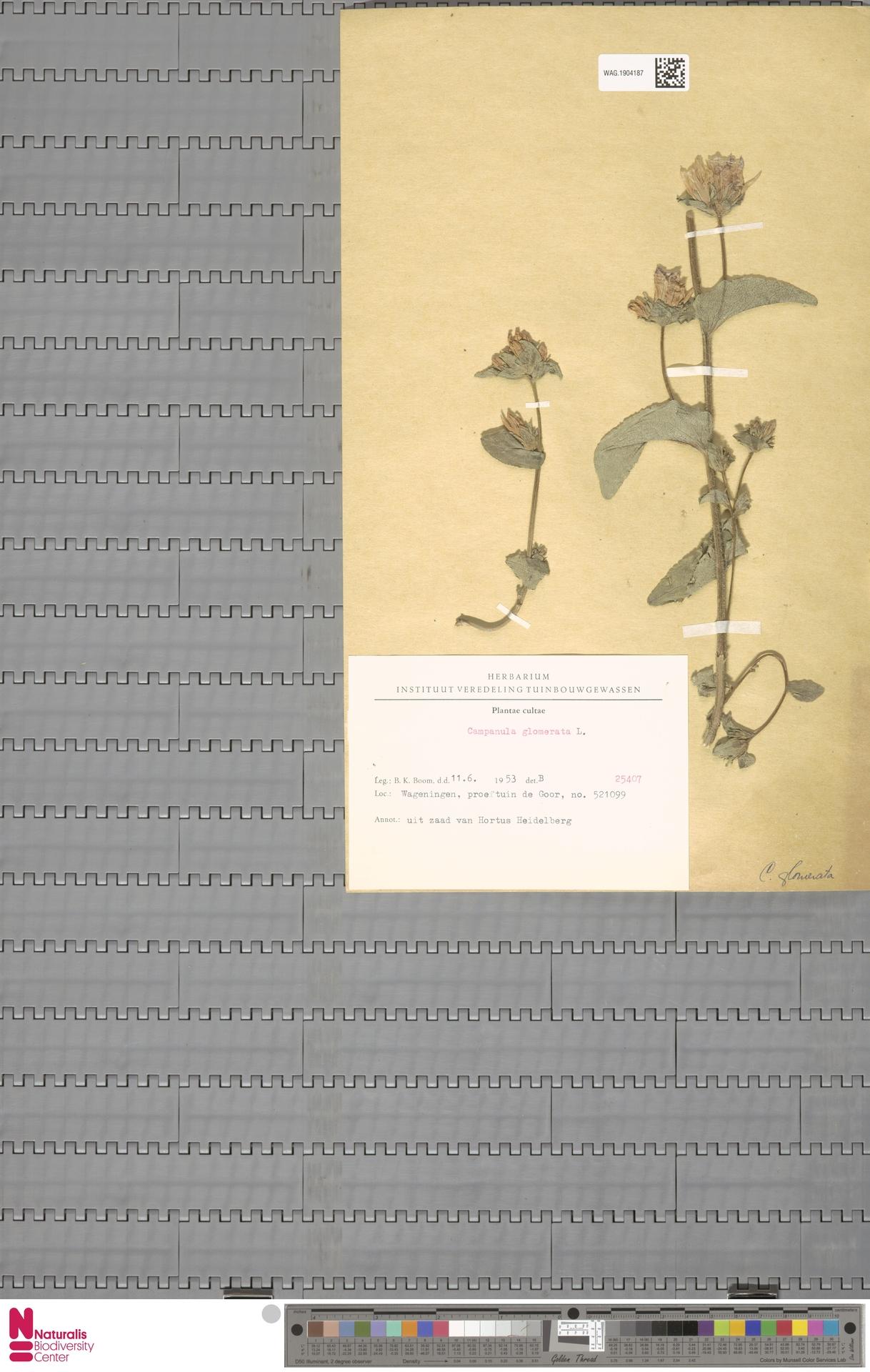 WAG.1904187 | Campanula glomerata L.