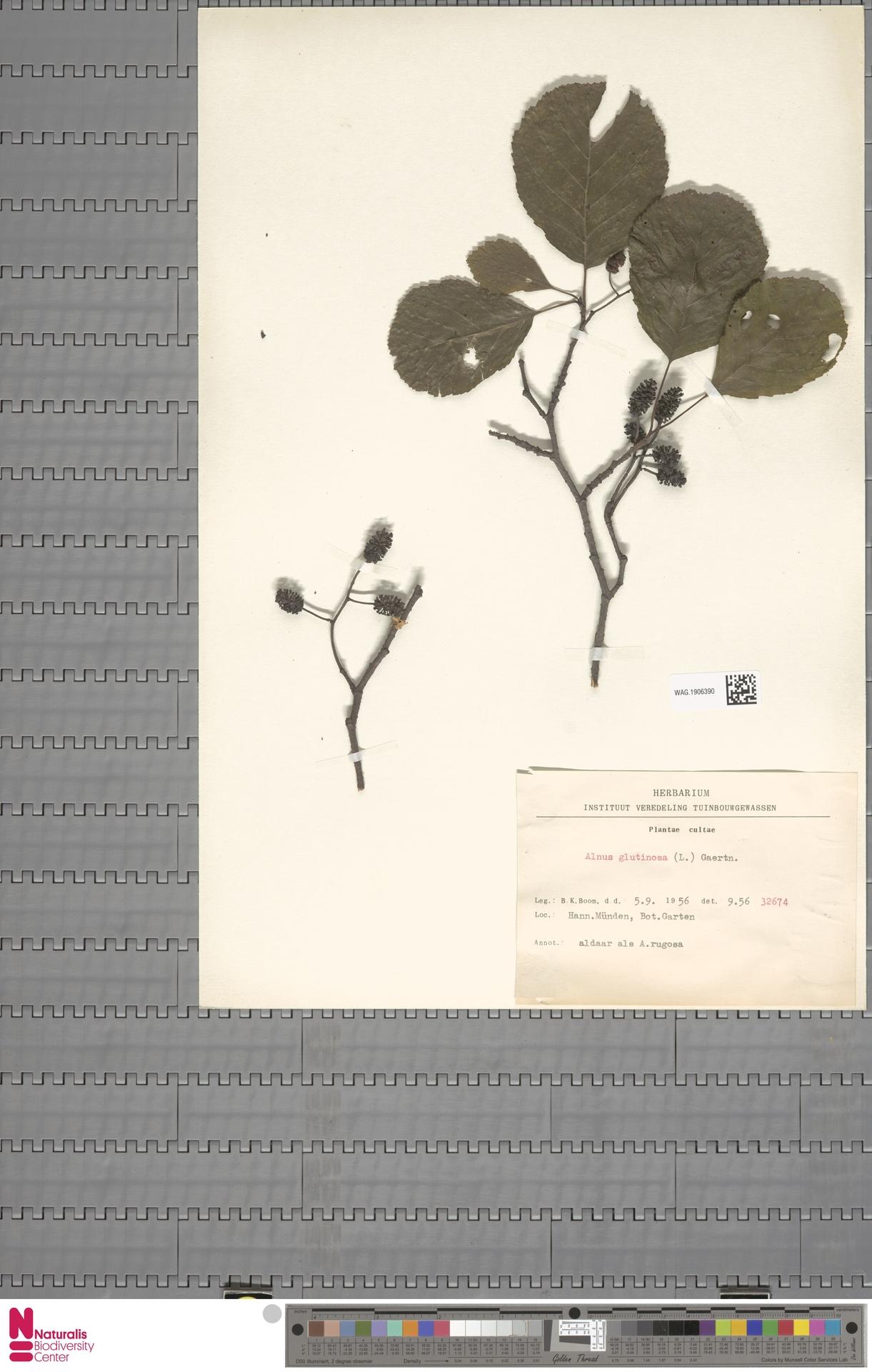 WAG.1906390   Alnus glutinosa (L.) Gaertn.