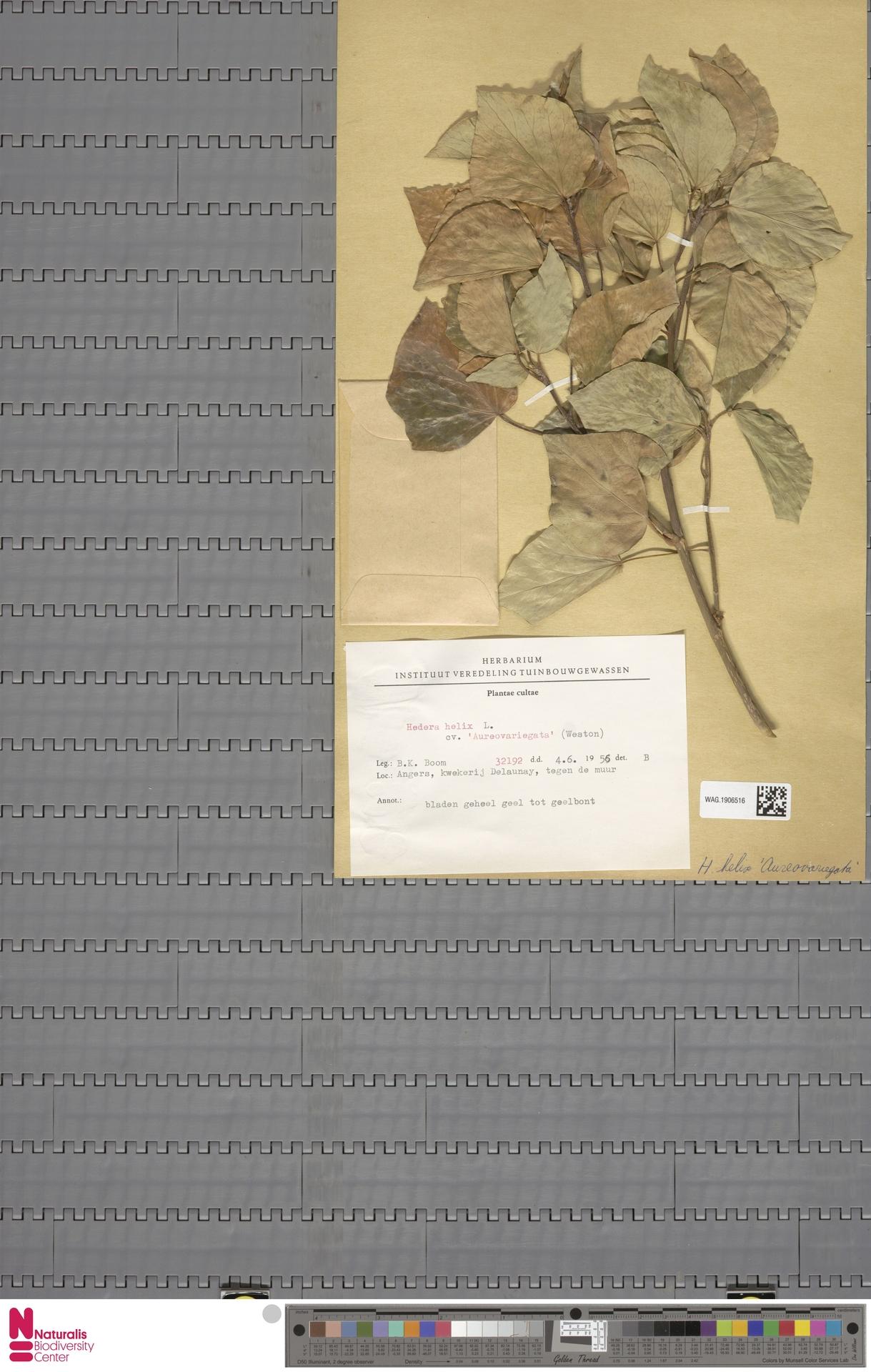 WAG.1906516 | Hedera helix cv. 'Aureovariegata'
