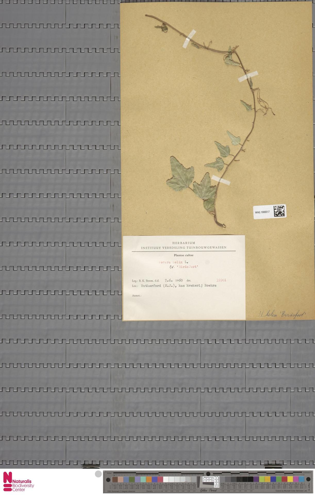 WAG.1906517   Hedera helix cv. 'Birdsfoot'