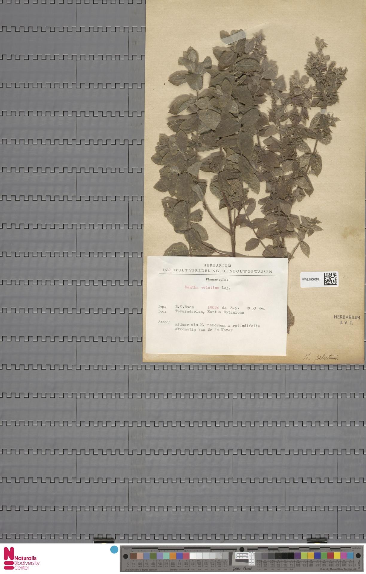 WAG.1906689 | Mentha verticillata L.