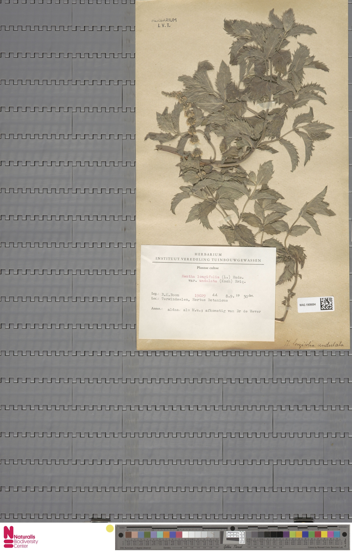 WAG.1906694   Mentha longifolia (L.) L.