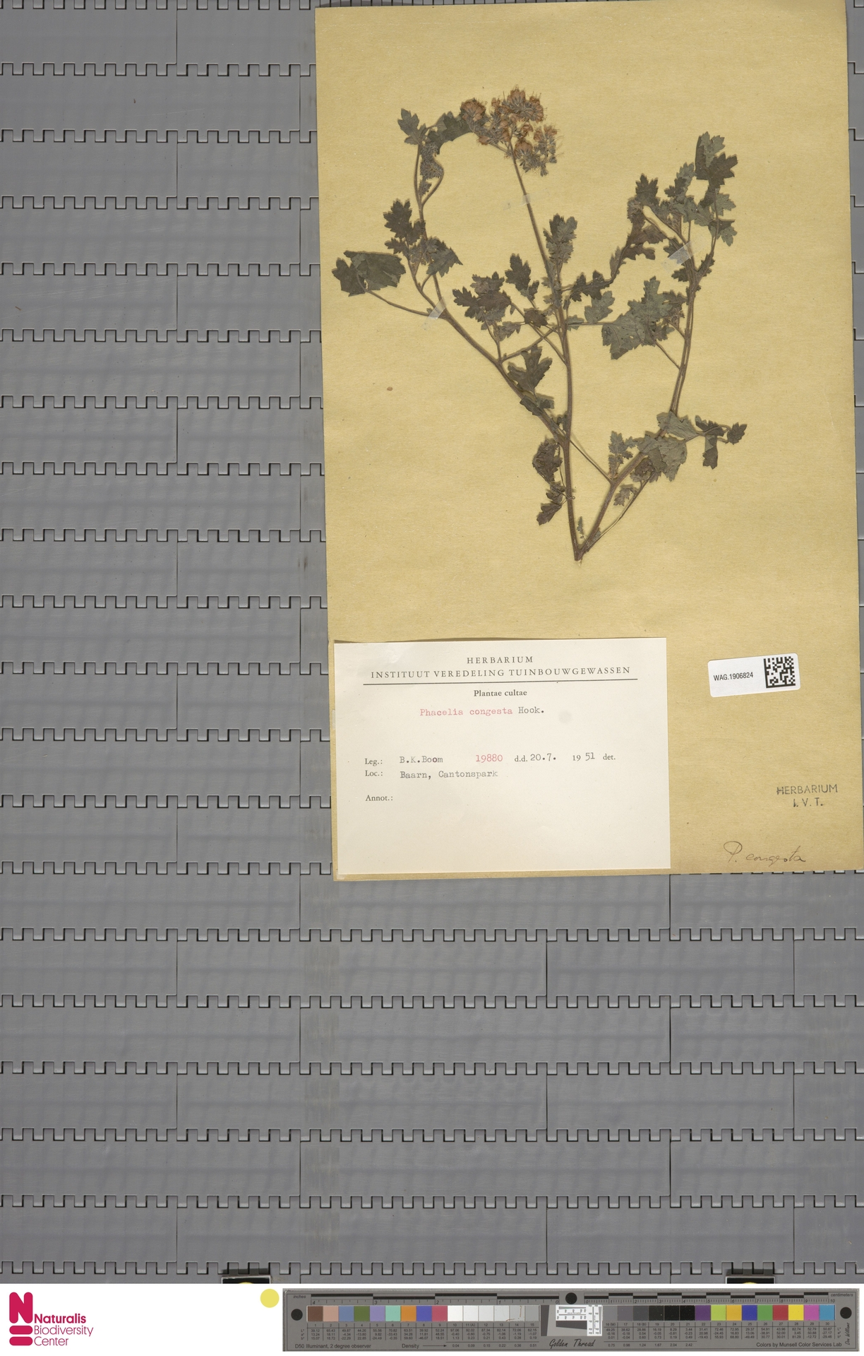 WAG.1906824   Phacelia congesta Hook.