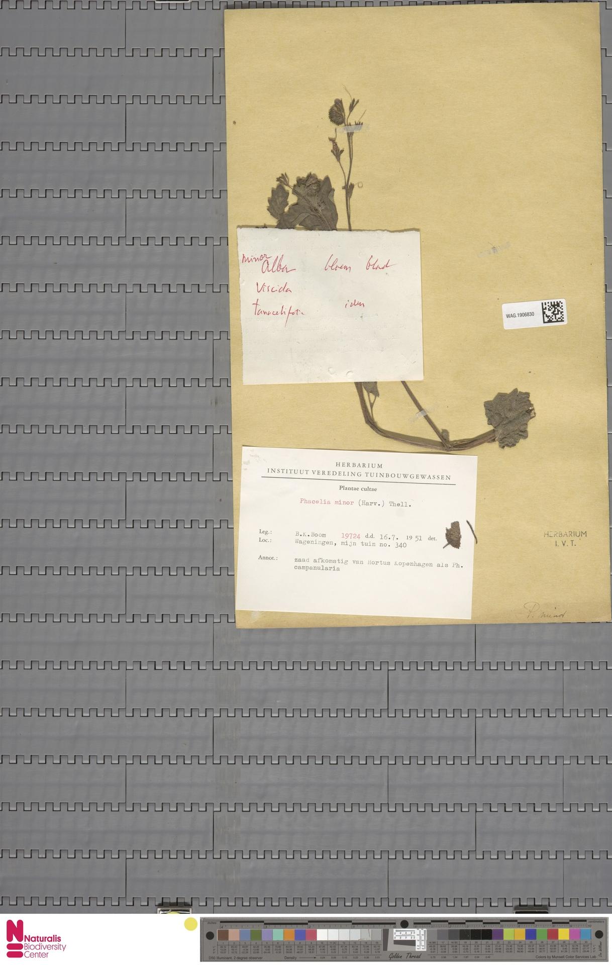 WAG.1906830 | Phacelia congesta Hook.
