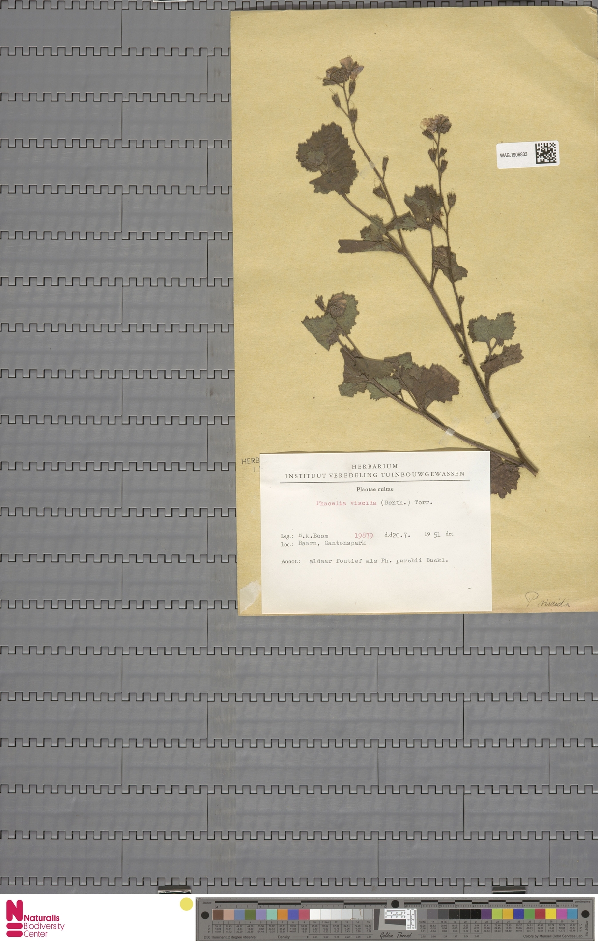 WAG.1906833 | Phacelia congesta Hook.