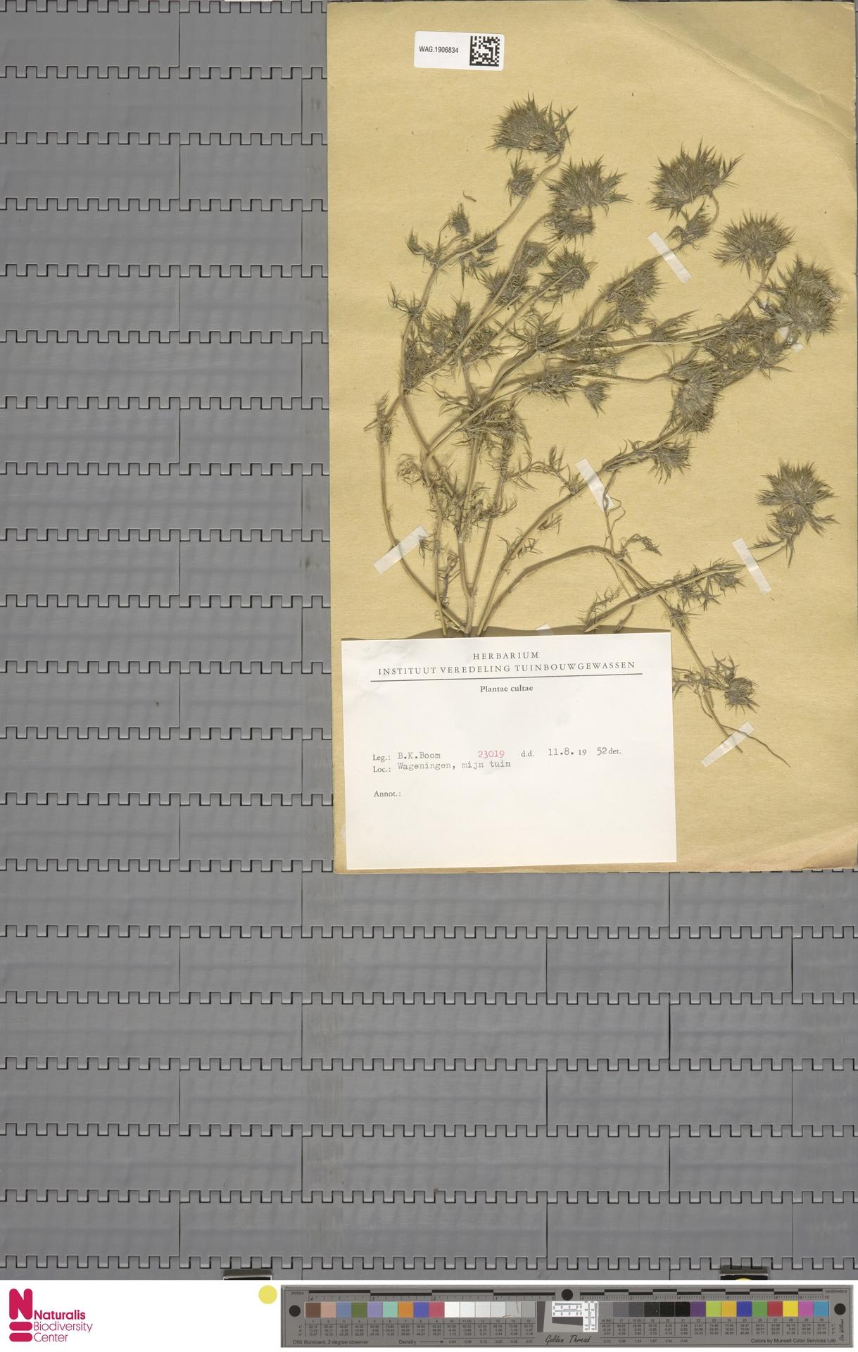 WAG.1906834 | Phacelia congesta Hook.