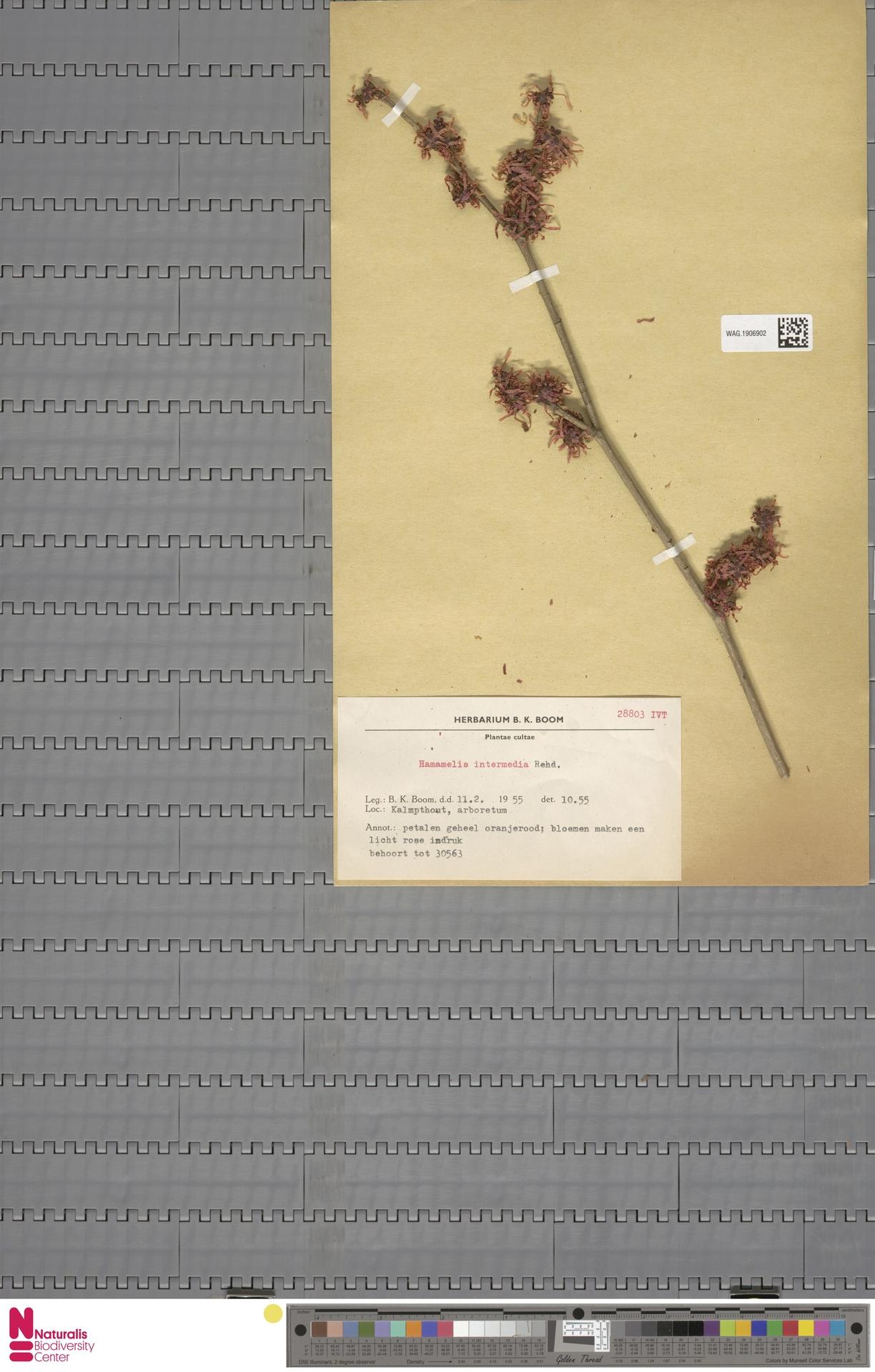 WAG.1906902 | Hamamelis intermedia Rehder