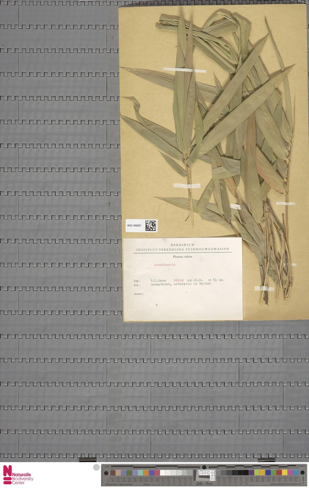WAG.1906927 | Arundinaria Michx.