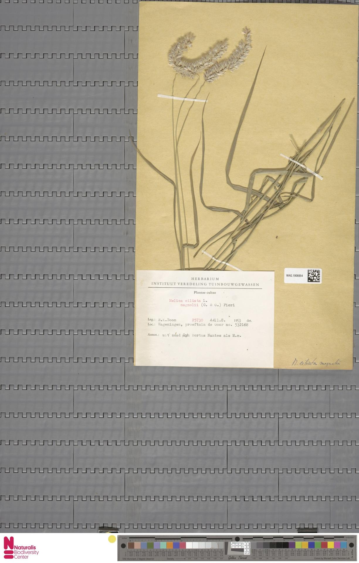 WAG.1906954 | Melica mutica Walter