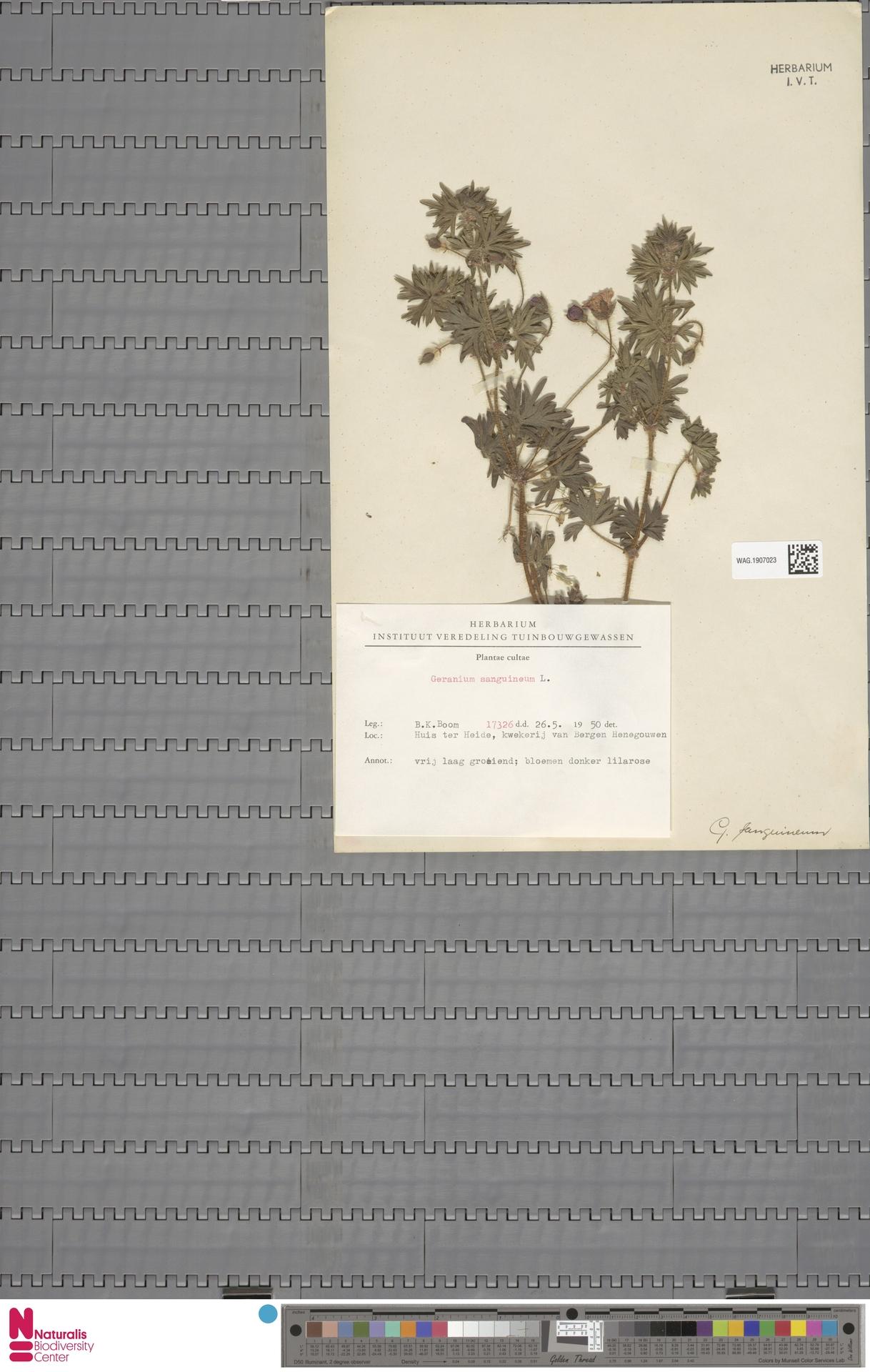 WAG.1907023 | Geranium sanguineum L.