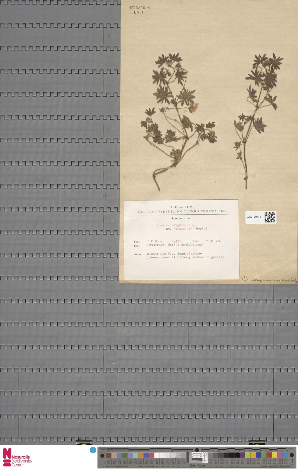 WAG.1907025   Geranium sanguineum L.