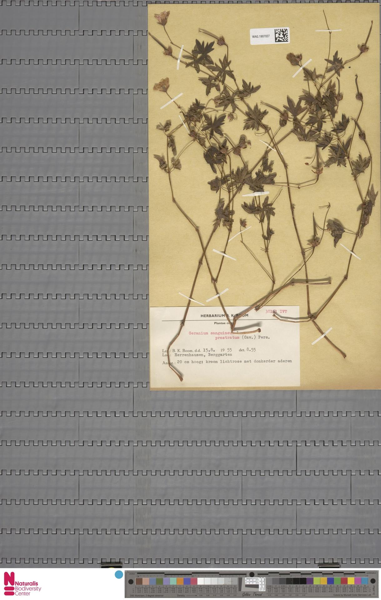 WAG.1907027   Geranium sanguineum L.