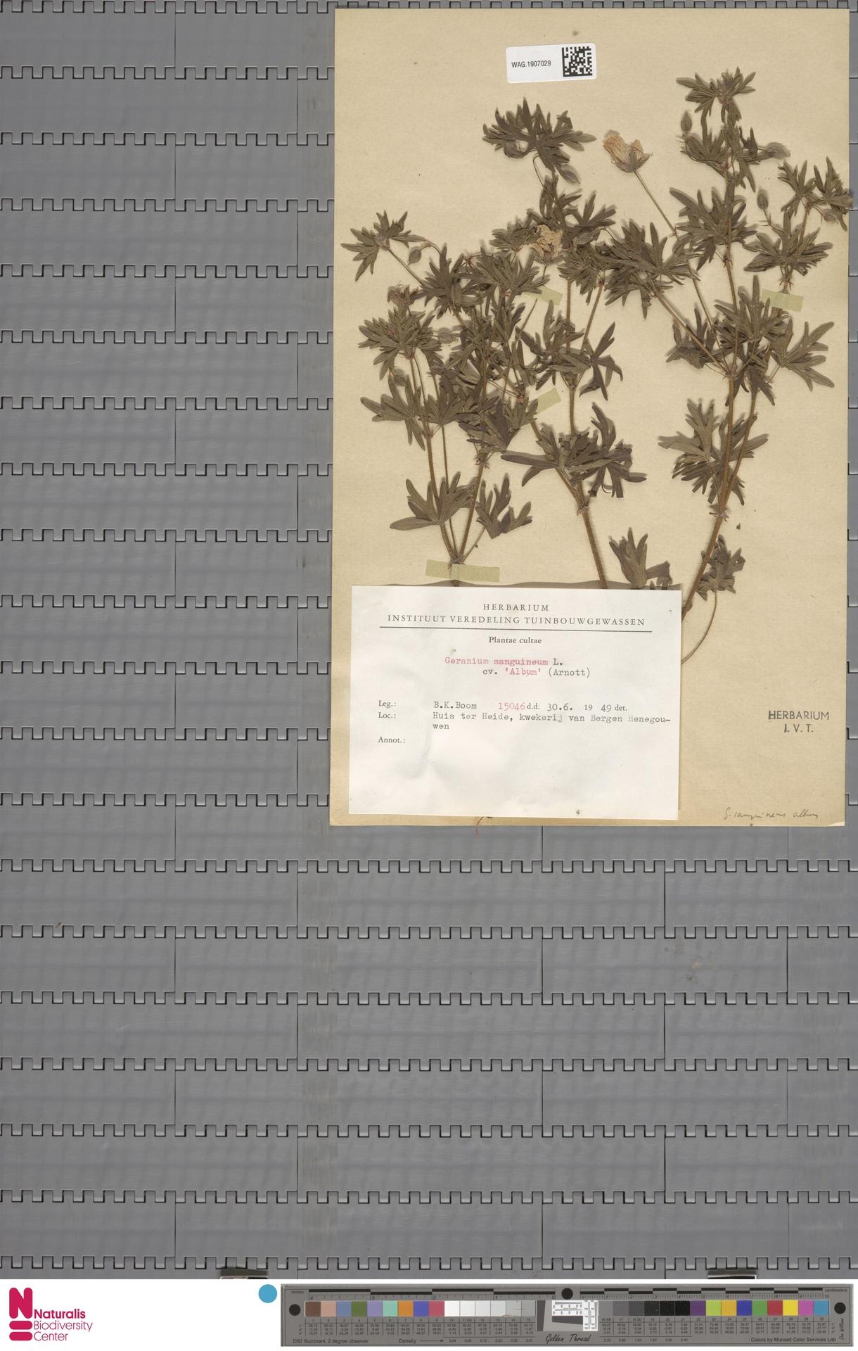 WAG.1907029 | Geranium sanguineum L.