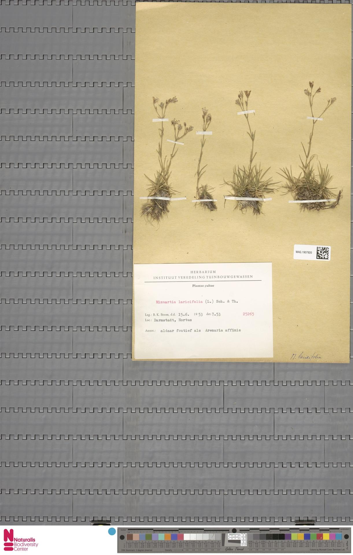 WAG.1907920   Minuartia laricifolia (L.) Schinz & Thell.