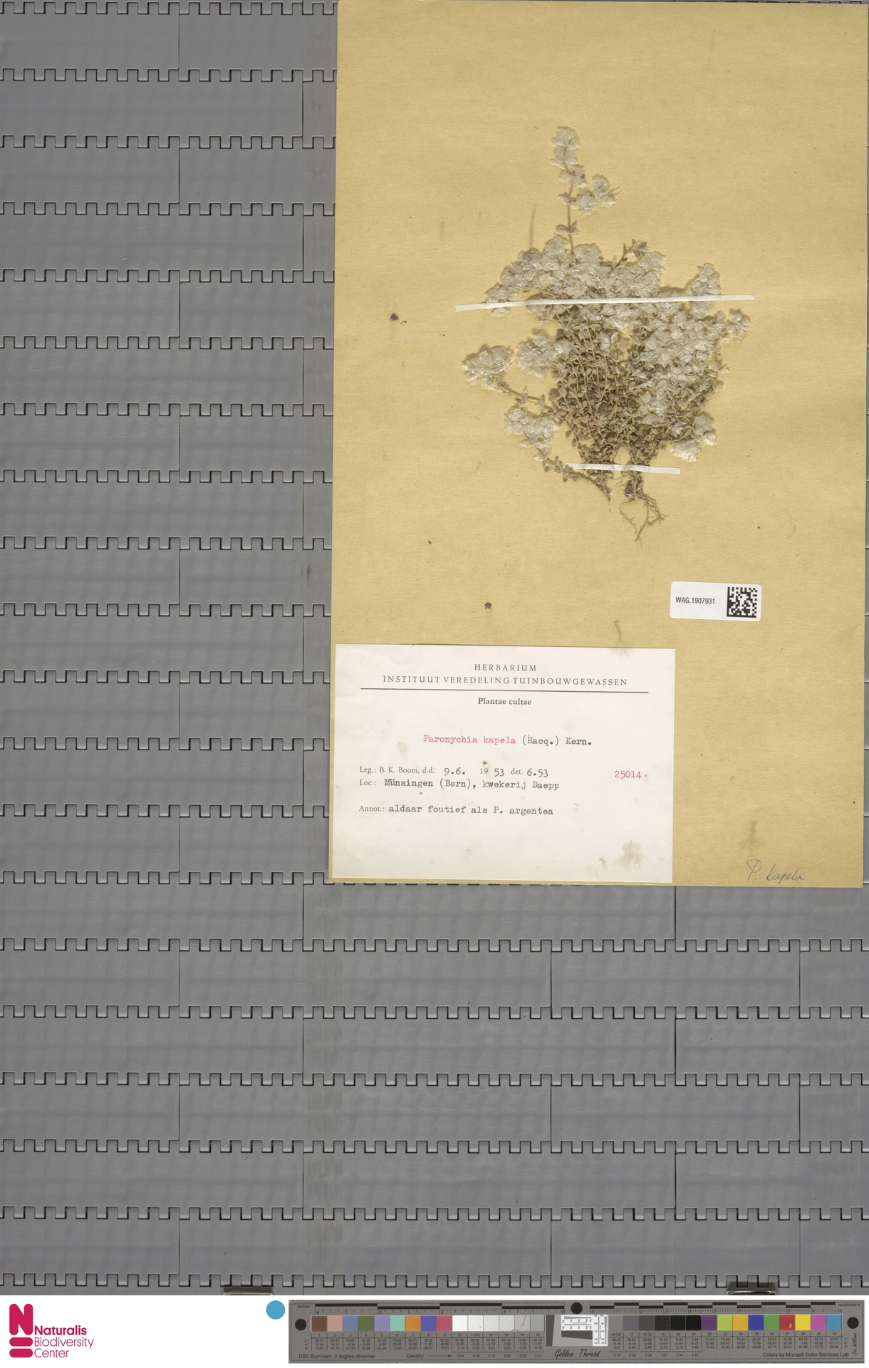 WAG.1907931 | Paronychia kapela (Hacq.) A.Kern.