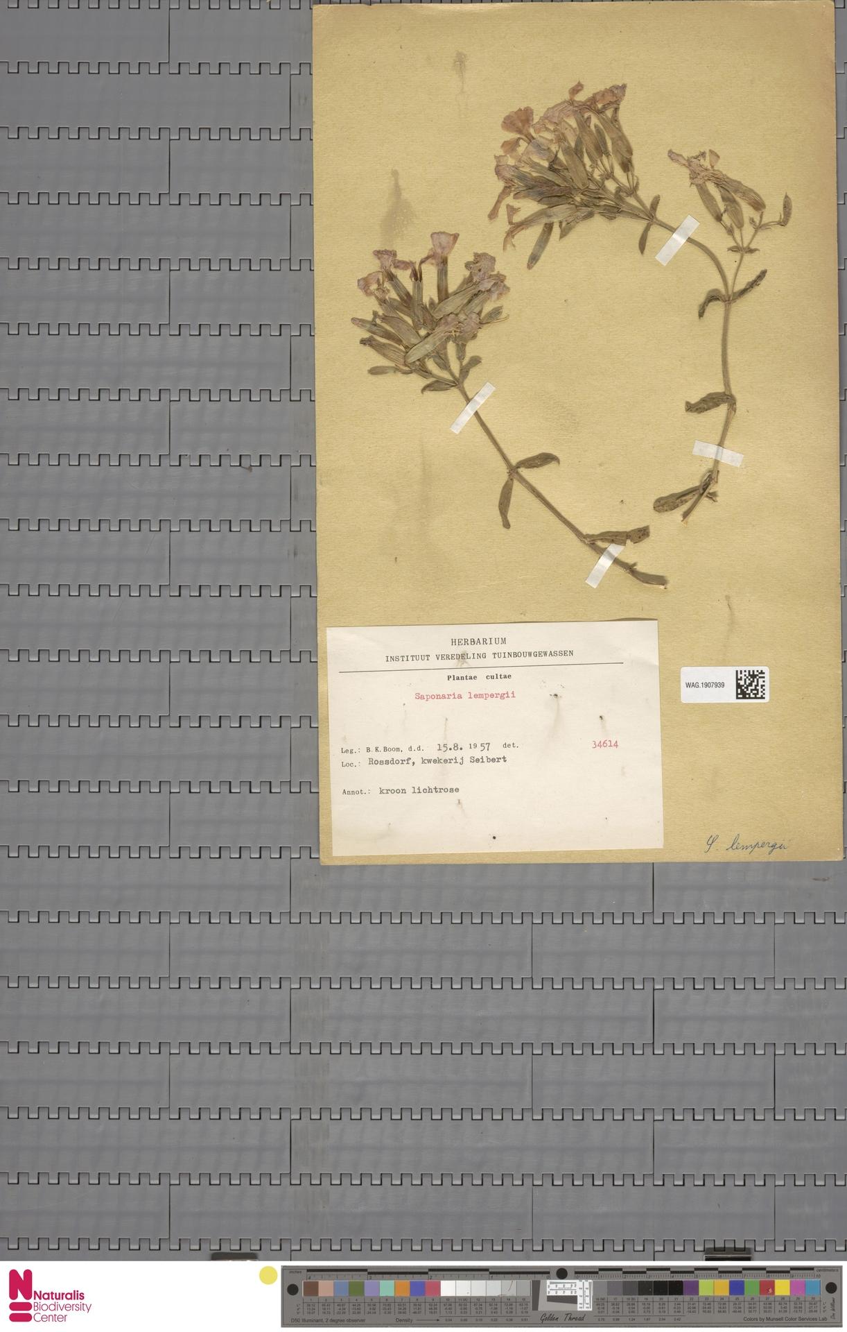 WAG.1907939 | Saponaria lempergii