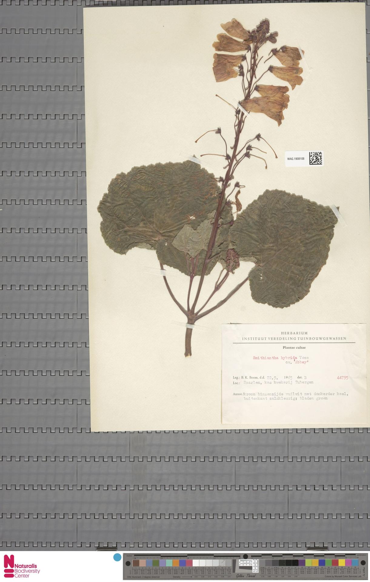 WAG.1908108 | Smithiantha ×hybrida cv. 'Abbey'