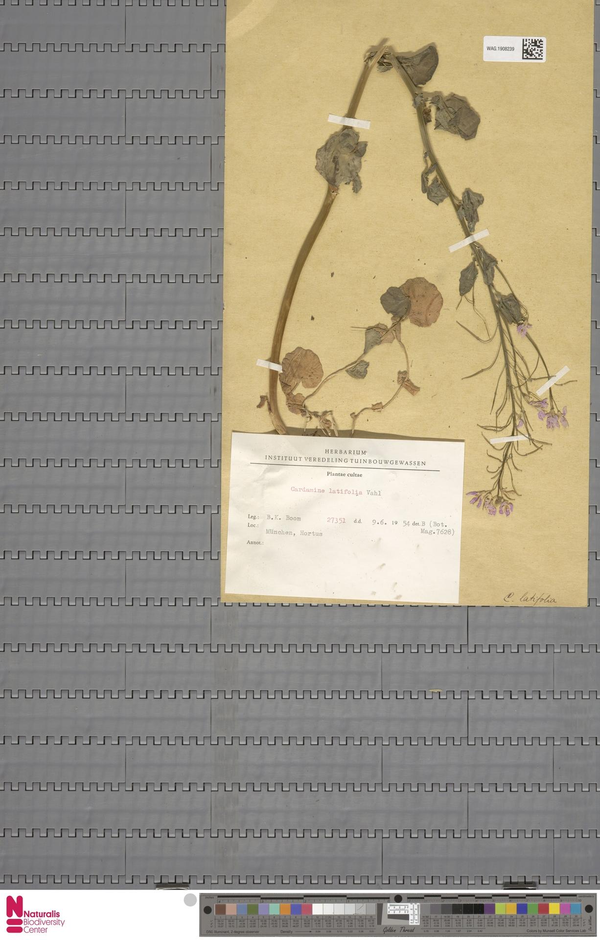 WAG.1908239   Cardamine latifolia Vahl