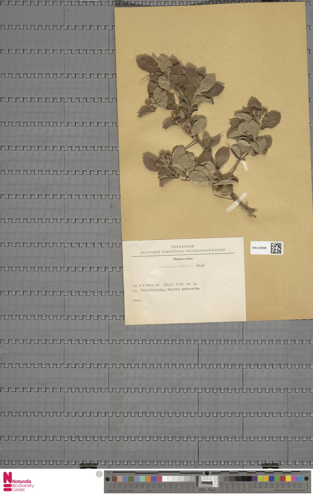 WAG.1908585 | Crataegus uniflora Münchh.