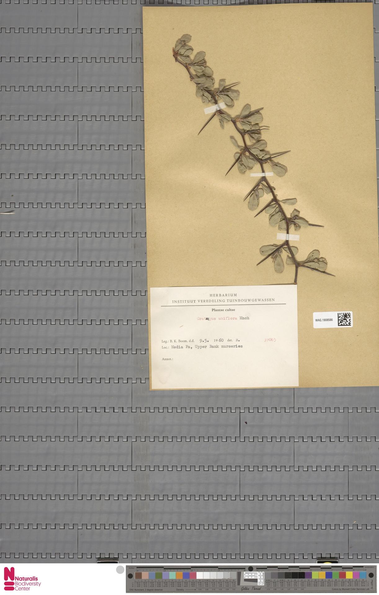 WAG.1908586 | Crataegus uniflora Münchh.