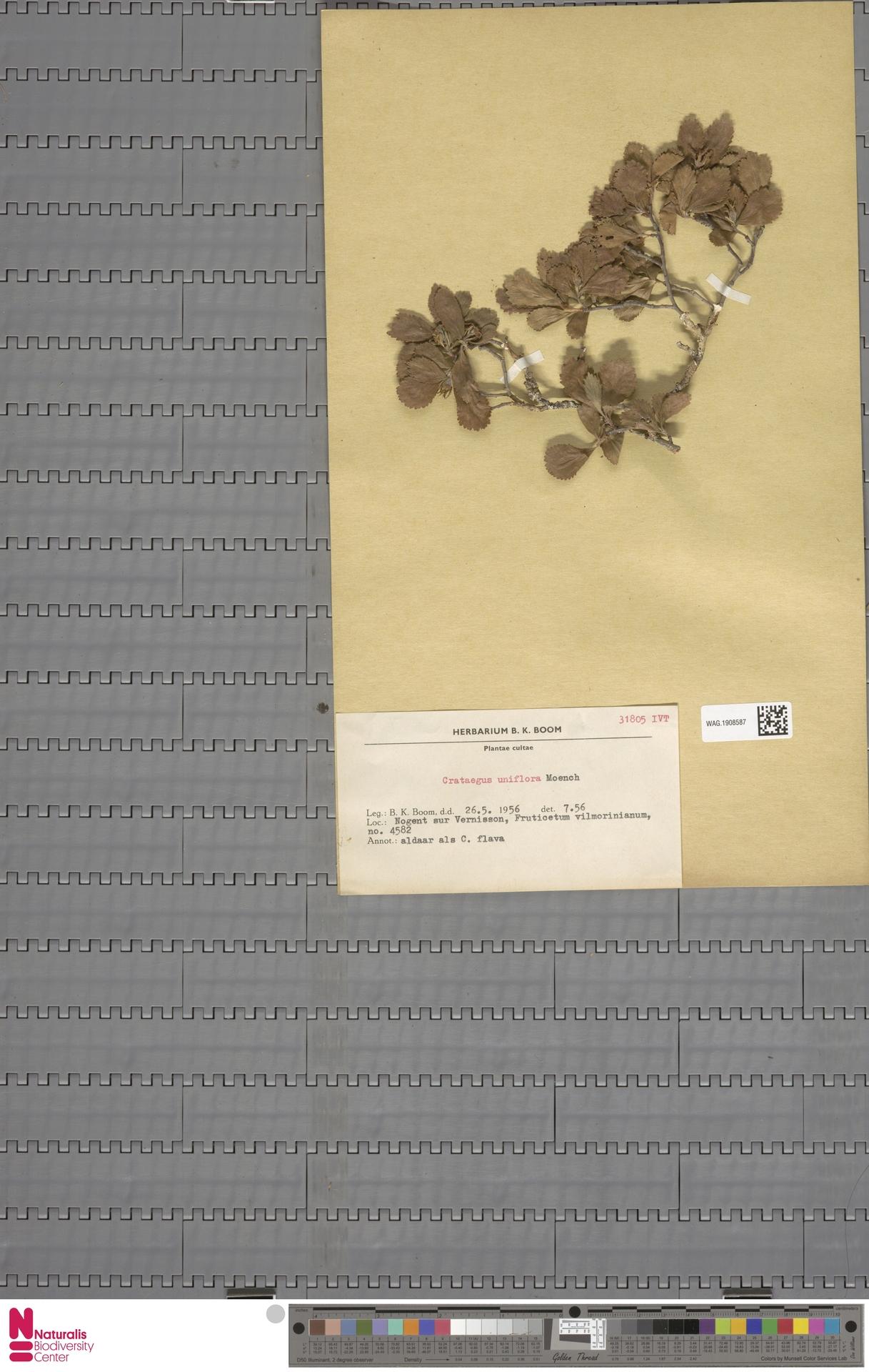 WAG.1908587 | Crataegus uniflora Münchh.