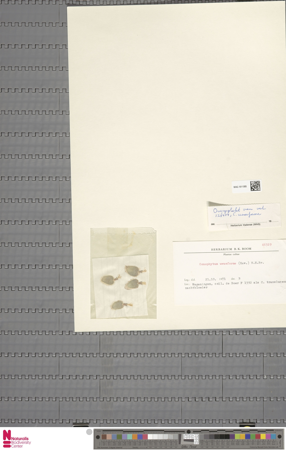 WAG.1911085 | Conophytum uviforme (Haw.) N.E.Br.