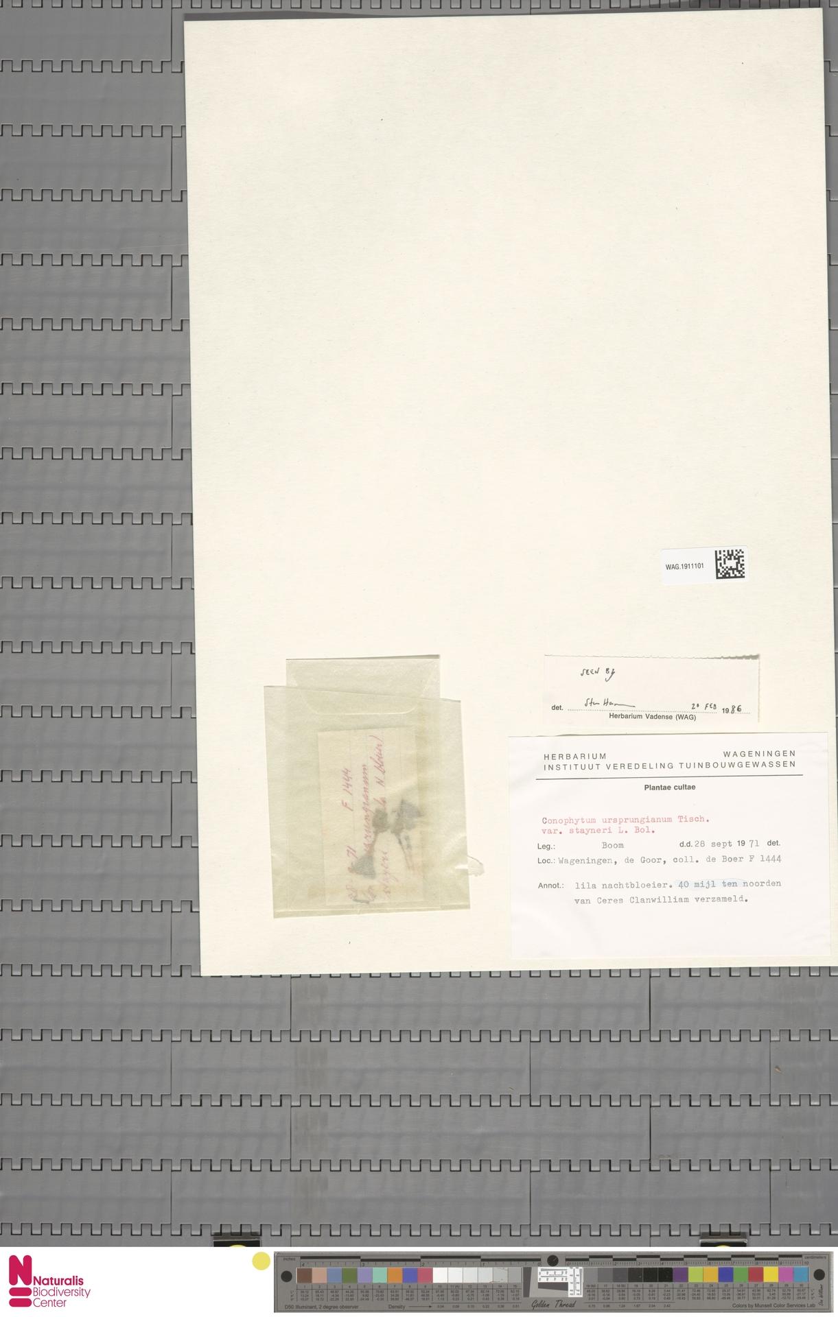 WAG.1911101 | Conophytum ursprungianum var. stayneri L.Bolus