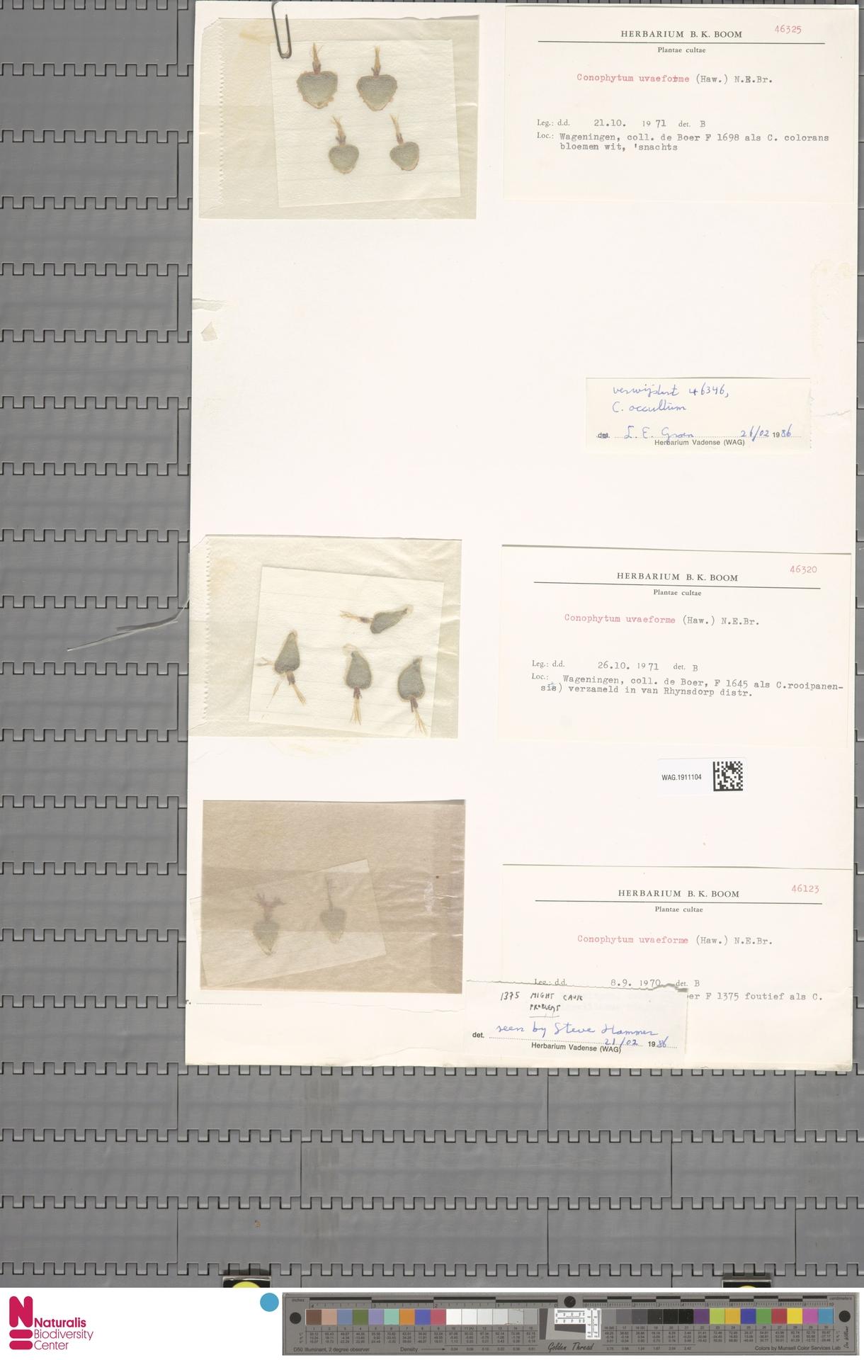 WAG.1911104 | Conophytum uviforme (Haw.) N.E.Br.