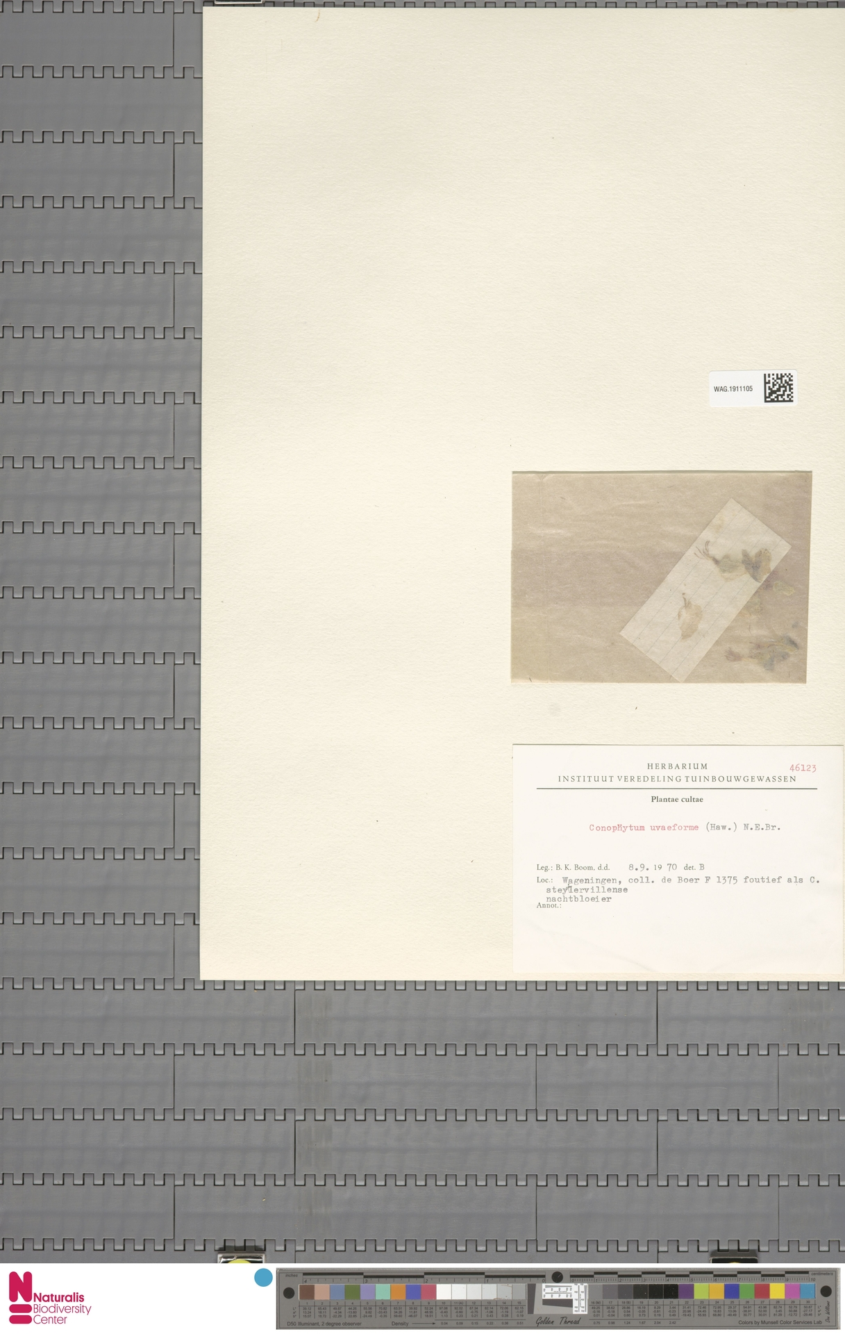 WAG.1911105 | Conophytum uviforme (Haw.) N.E.Br.
