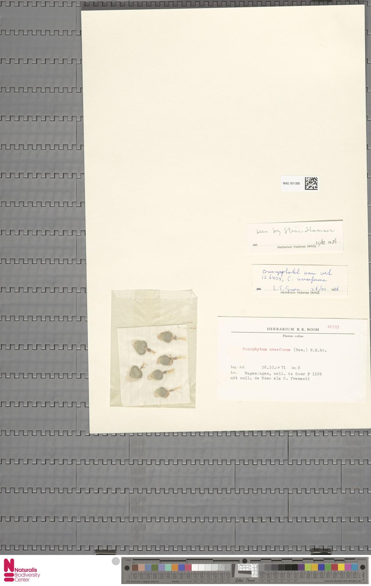 WAG.1911395 | Conophytum uviforme (Haw.) N.E.Br.