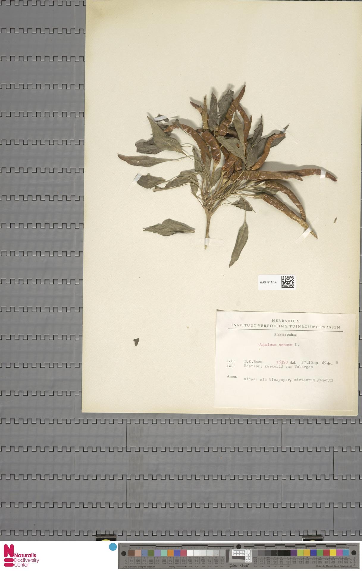 WAG.1911754 | Capsicum annuum L.